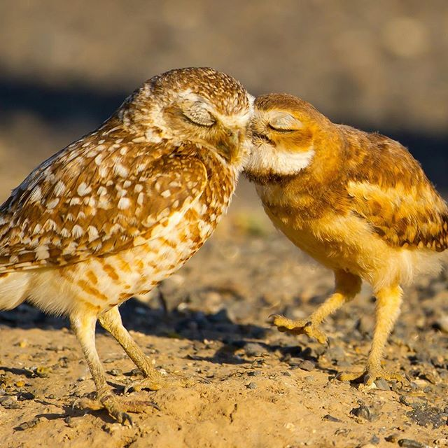 Today, we are especially thankful for our community of bird lovers and conservationists. You recognize the role birds and natural spaces play in enriching our lives personally and ecologically. Thank you for continuing to make our work to protect birds and their habitats possible. Happy Thanksgiving! . . . . . . Burrowing Owls @mickthompson2 . . . . . . #thankful #environment #birds #grateful #thanksgiving #birdlover #wildlife #outdoors #bird #parks #ecofriendly #conservation #birding #thankyou #nonprofit #appreciation #turkeyday #thanks