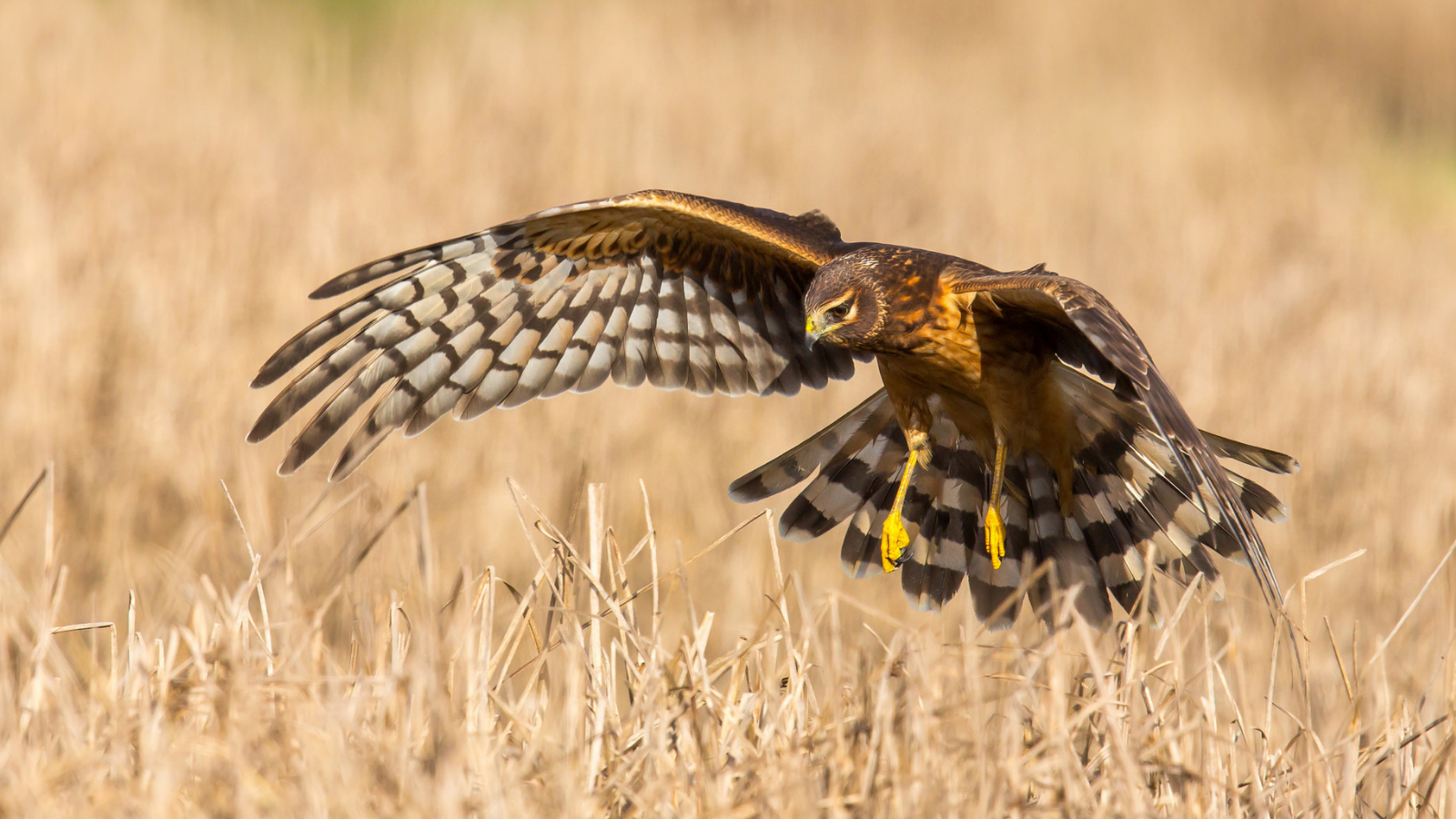 Northern Harrier by Mick Thompson
