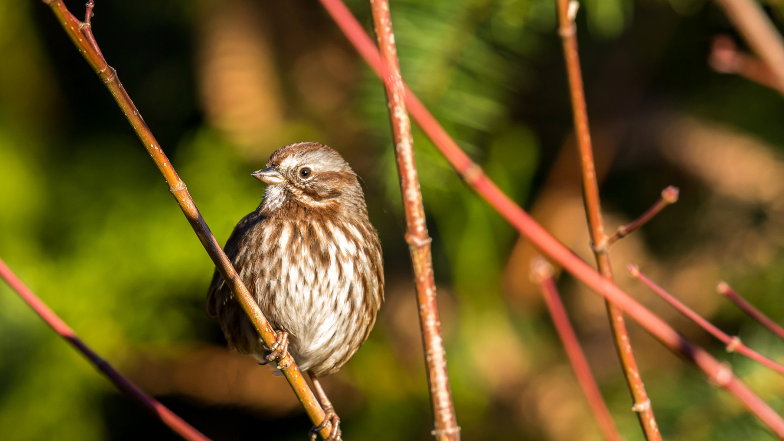Song Sparrow by Mick Thompson