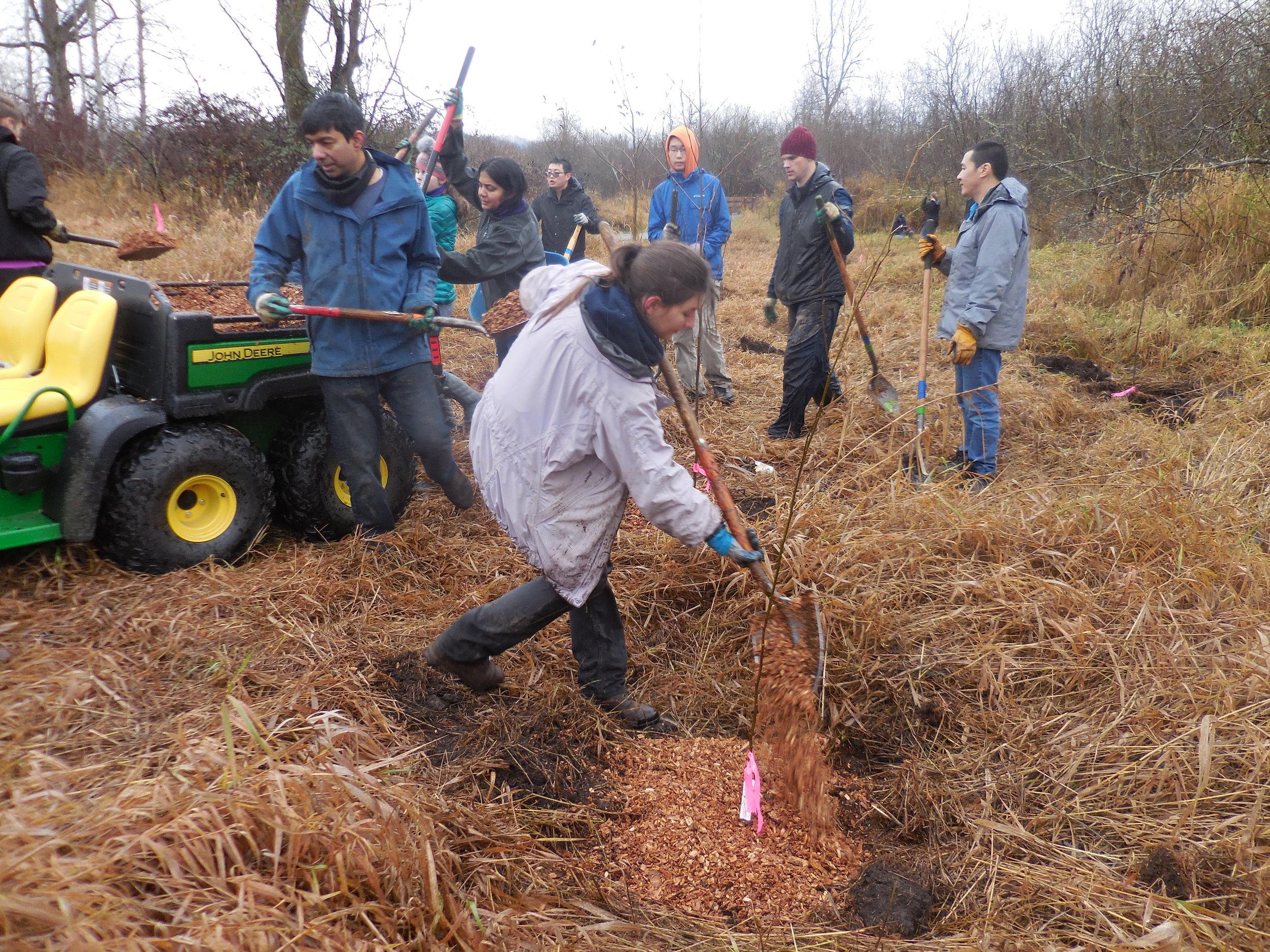 Planting Red Alder.jpg