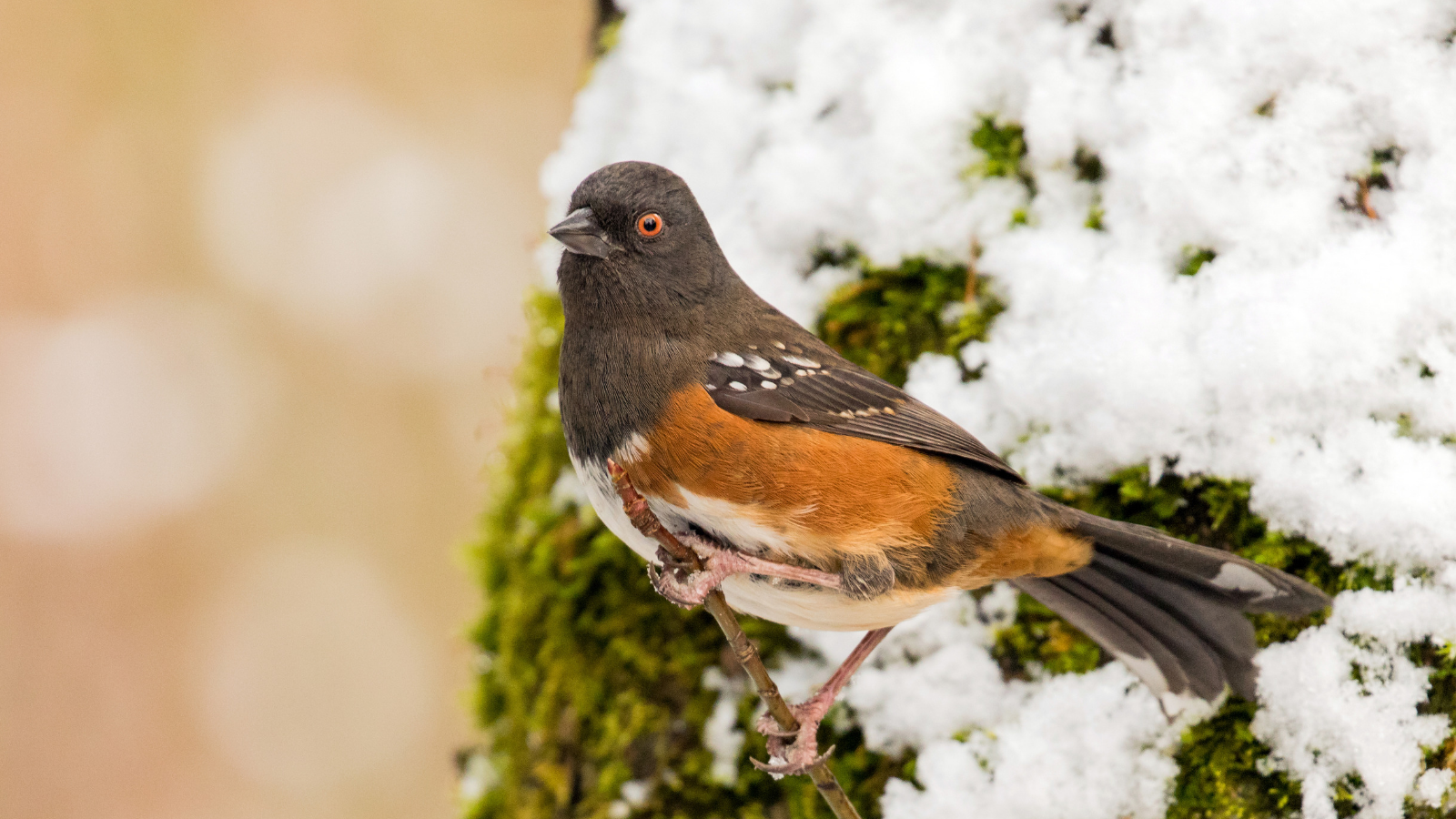 Spotted Towhee by Mick Thompson