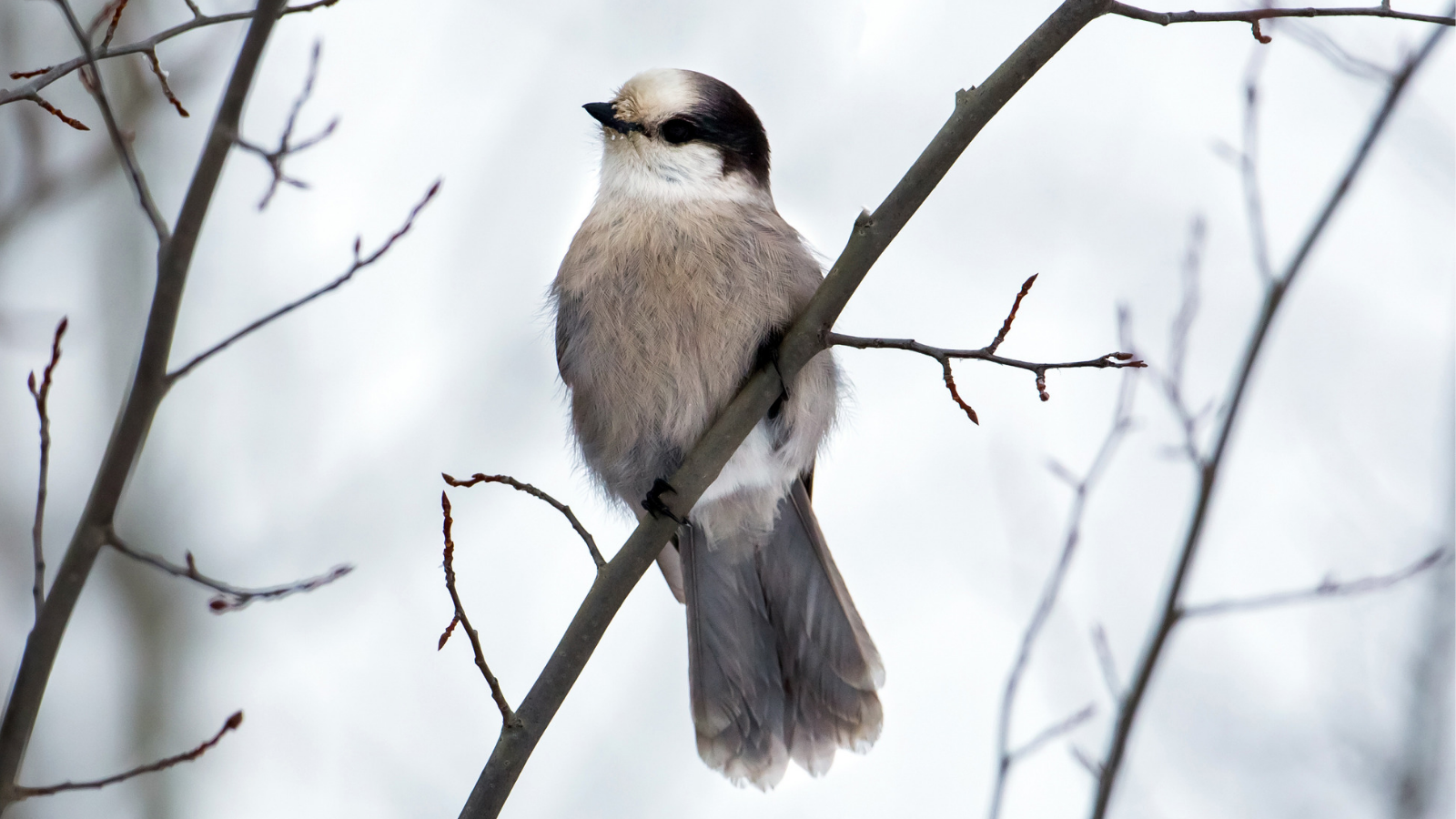 Canada Jay by Mick Thompson