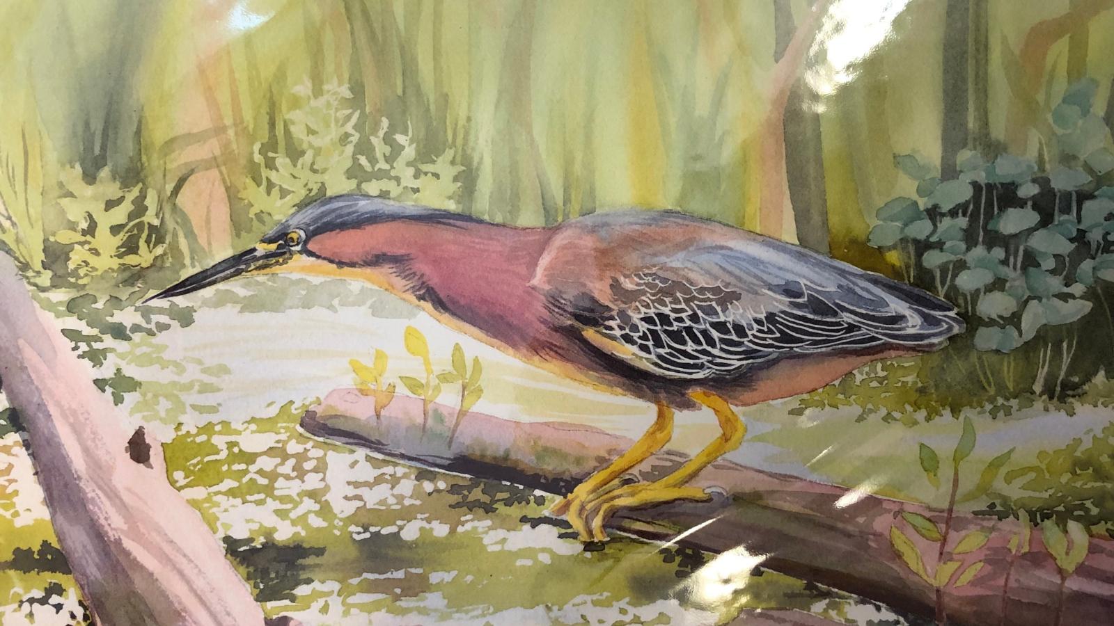 Green Heron, Union Bay by Molly Hashimoto