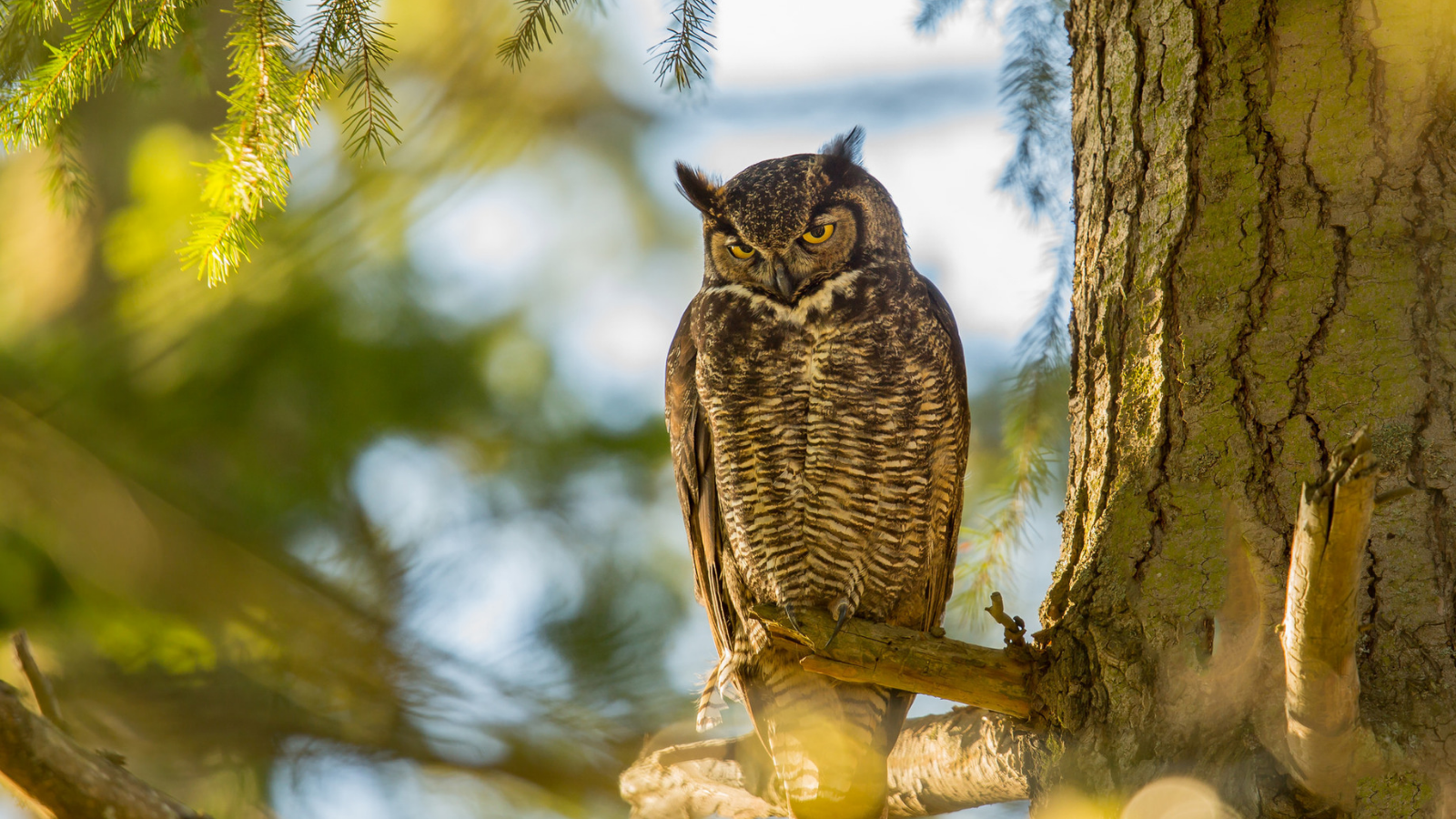Great Horned Owl by Mick Thompson