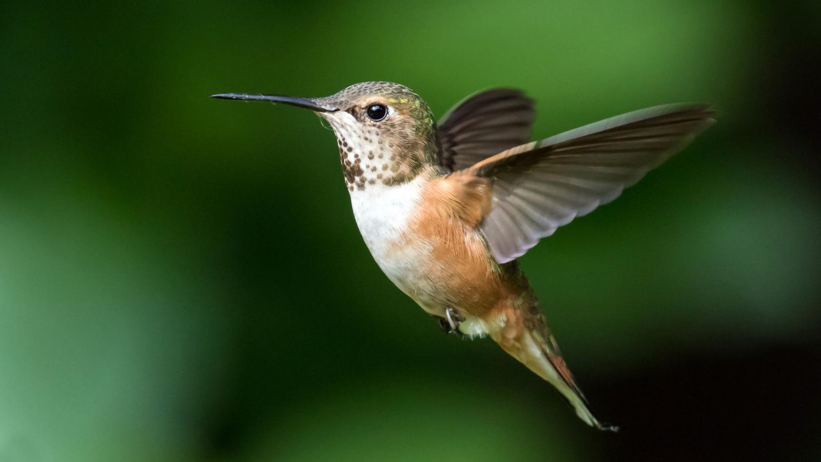Rufous Hummingbird by Mick Thompson