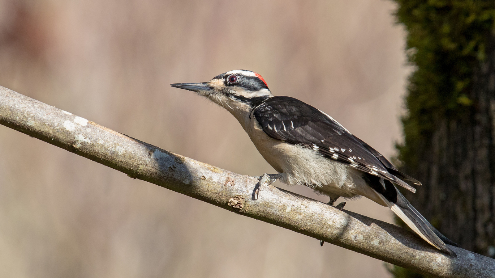 Hairy Woodpecker by Mick Thompson