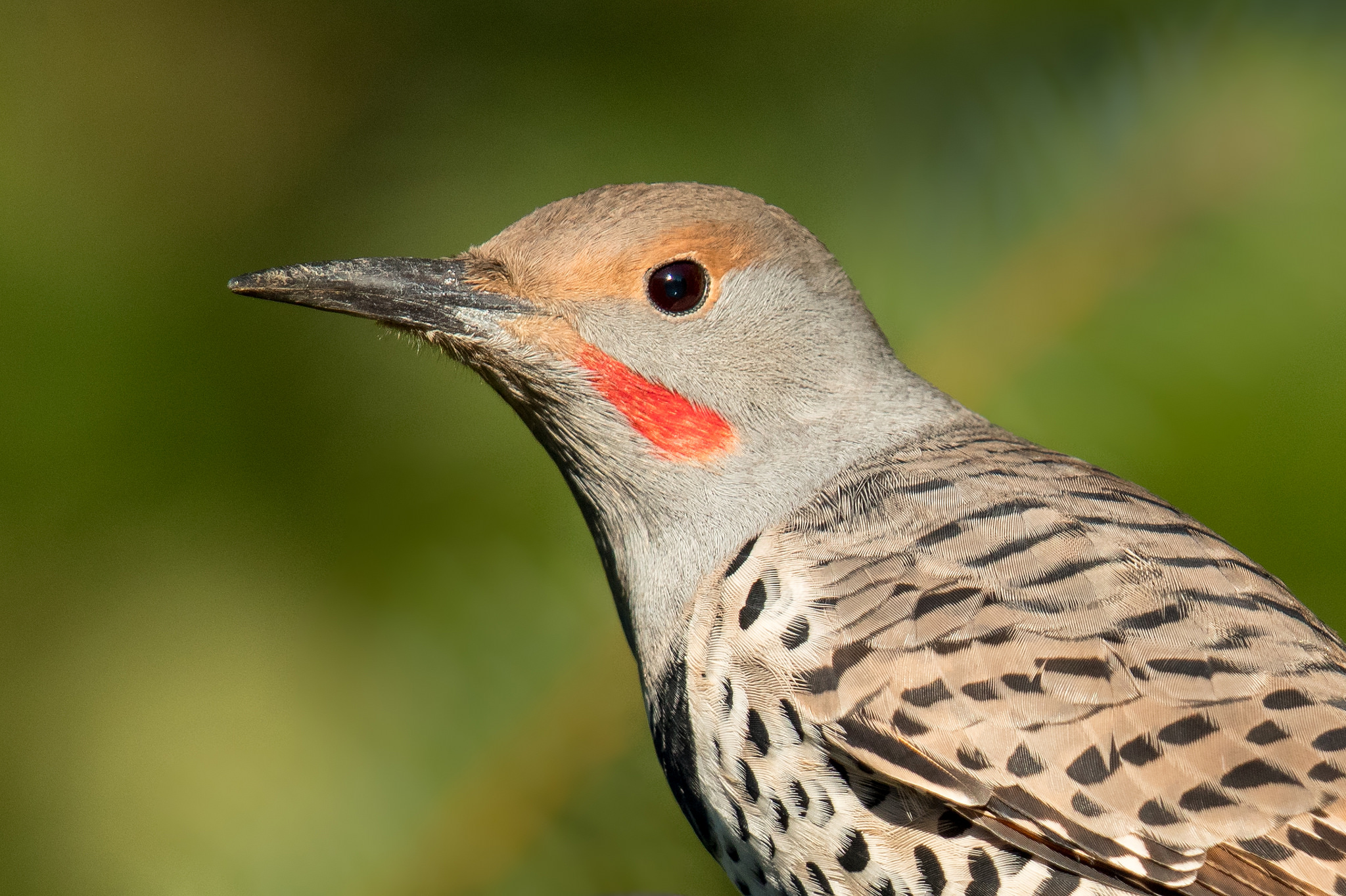 Northern Flicker by Mick Thompson
