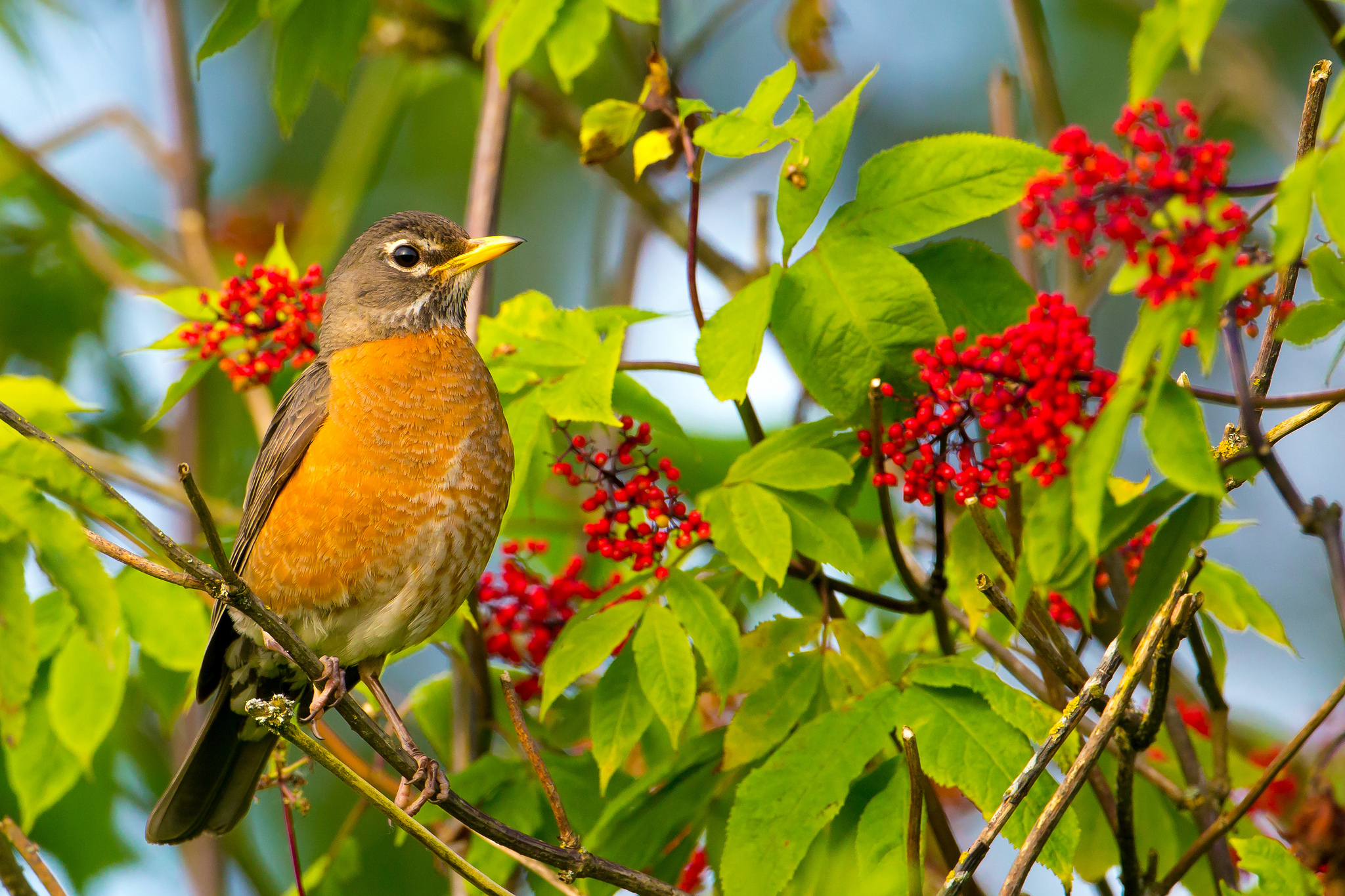 American Robin by Mick Thompson