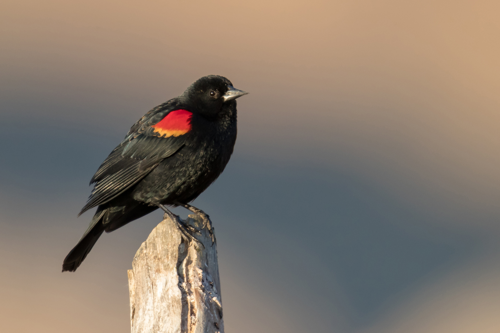 Red-winged Blackbird by Mick Thompson