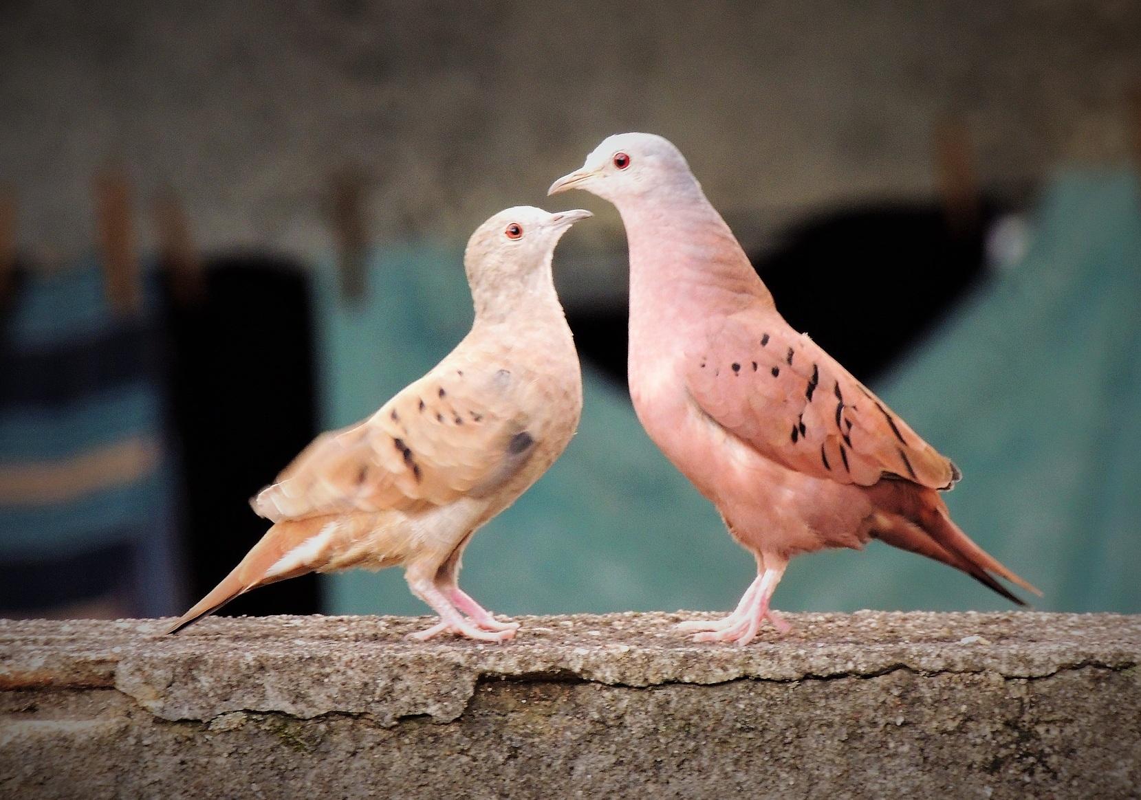 Ruddy Ground Doves by Edgard Goncalves
