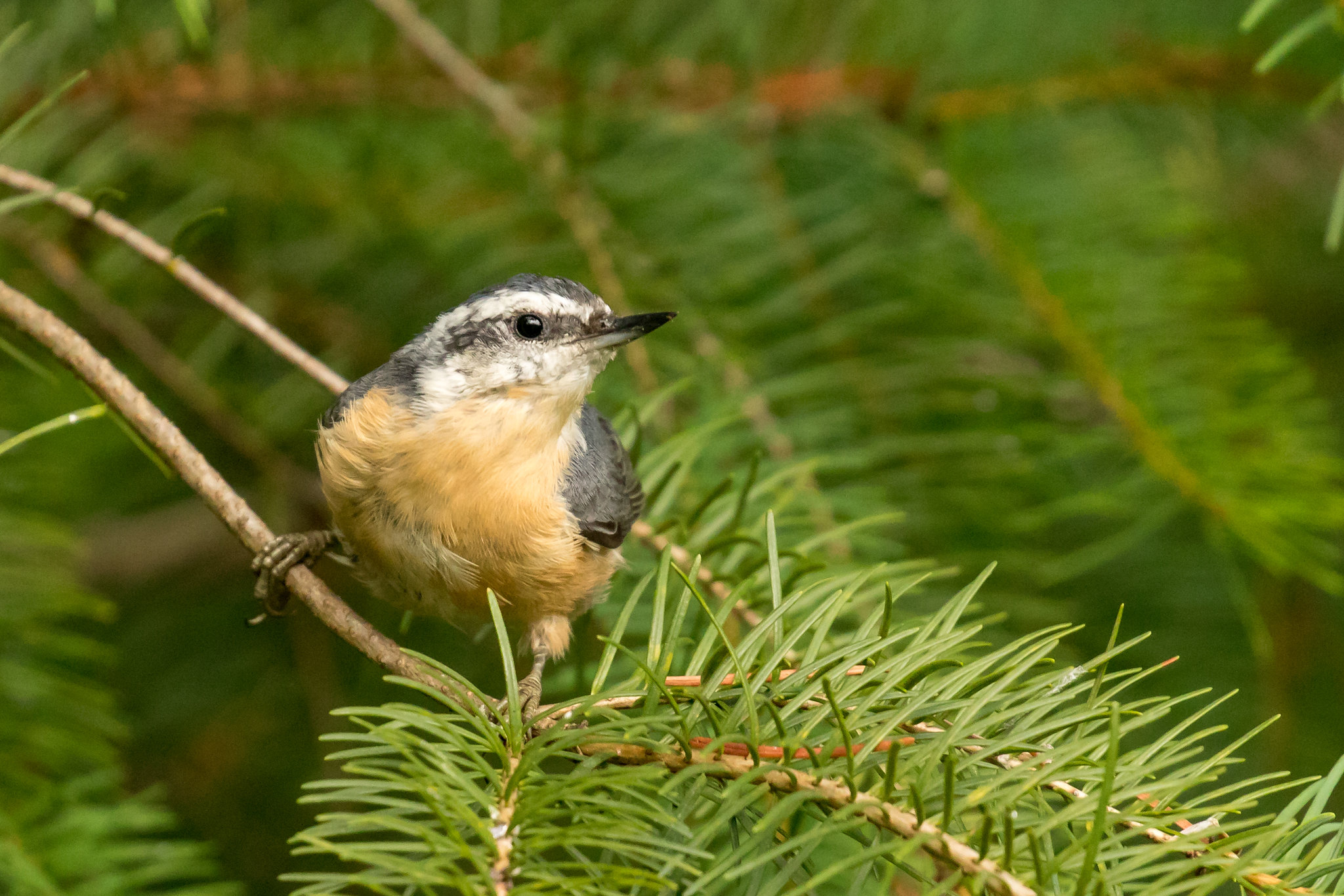 Red-breasted Nuthatch by Mick Thompson