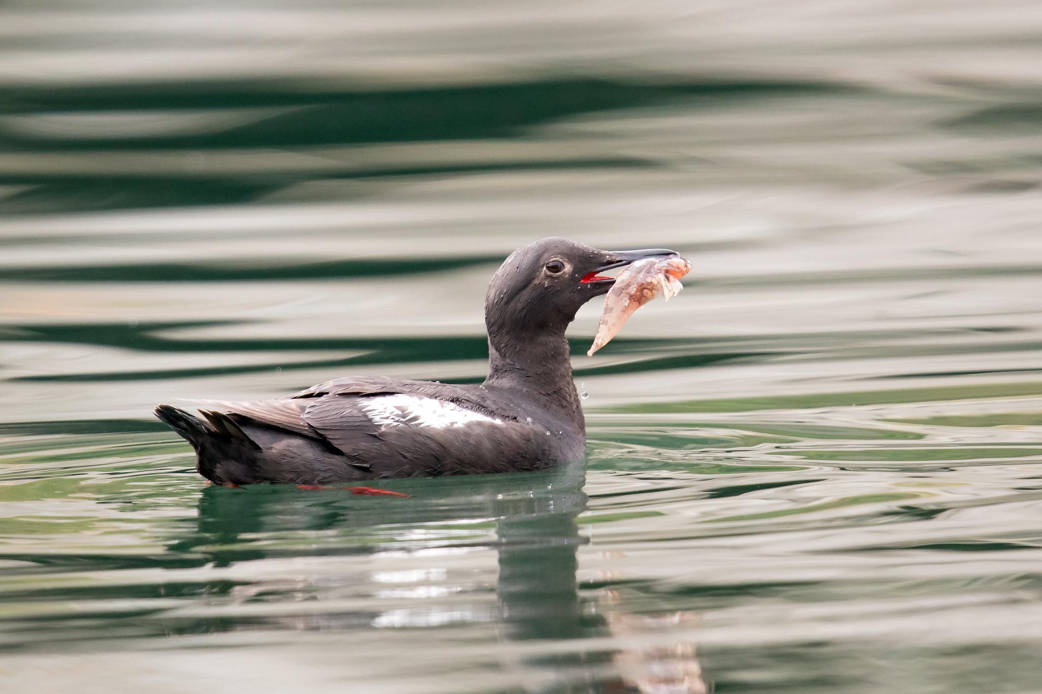 Pigeon Guillemot by Mick Thompson