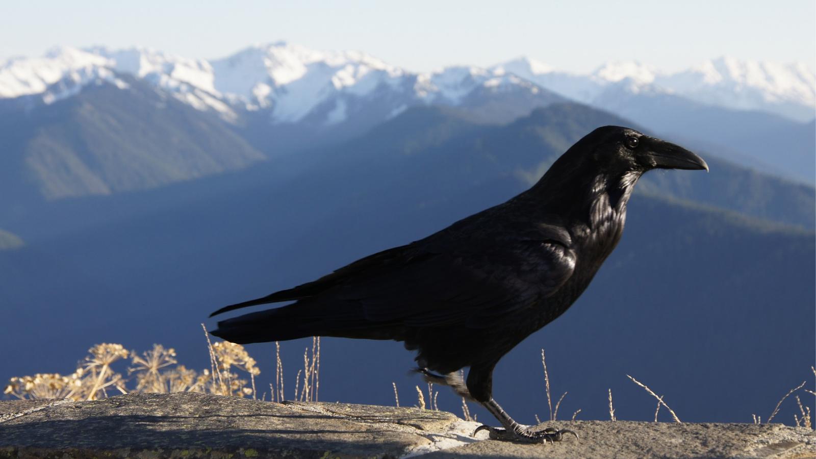 Common Raven at Hurricane Ridge