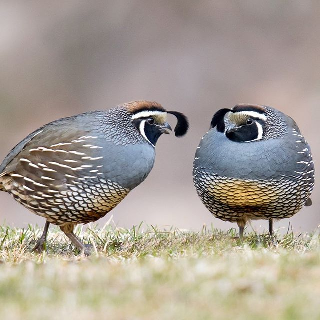 Join us this Thursday for our Photo group. Share your great birding photos with other passionate artists. All photographers are welcome whether you're just starting photography or you're a seasoned expert.  Learn more: http://tiny.cc/id0raz  PC: Mick Thompson (California Quail, Chelan)