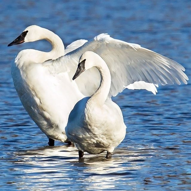 Happy Saturday with the Swans! Did you know Trumpeter Swans are one of North America's heaviest flying bird averaging over 26 pounds? They also tend to pair off when they're 2-3 years old and mate for life!  PC: Mick Thompson (Trumpeter Swans, Juanita Bay Park)