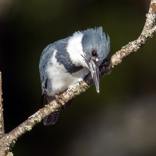 Start your week off right by connecting with our local wildlife. Our Lake Sammamish Birding Field Trip is tomorrow at 6:30 AM, no registration required. We hope to see you tomorrow! http://tiny.cc/ql0raz  PC: Mick Thompson (Belted Kingfisher, Lake Sammamish State Park)