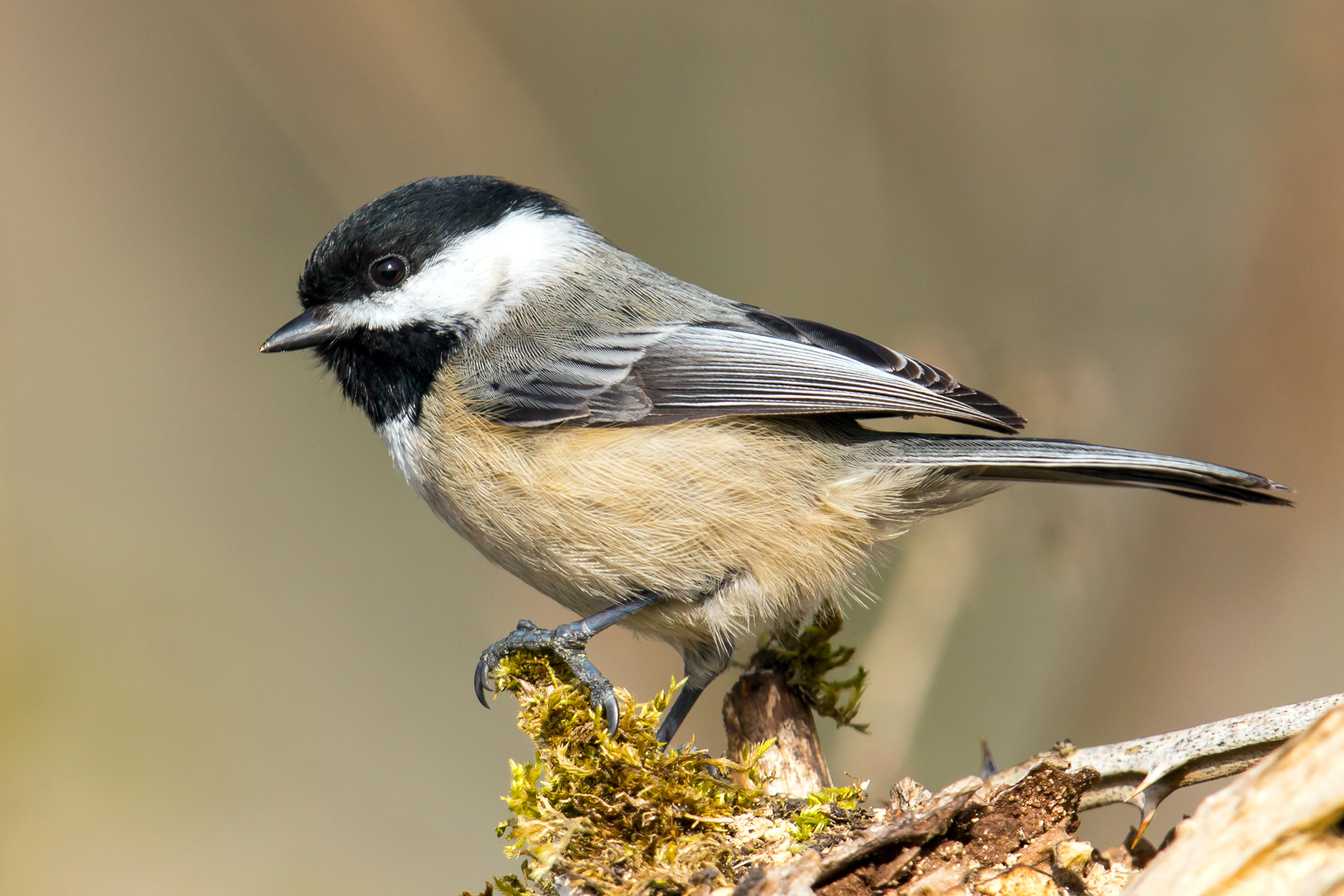 PC: Mick Thompson (Black-Capped Chickadee)