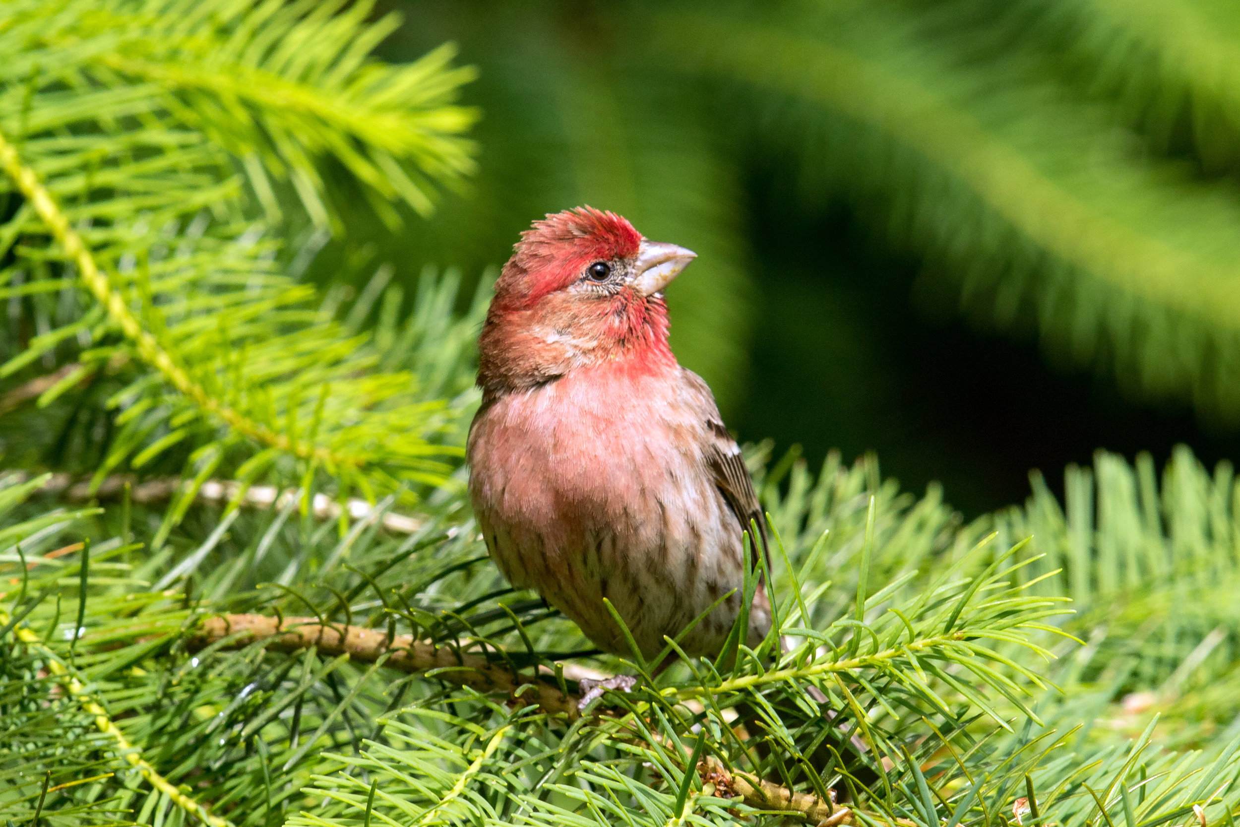 PC: Mick Thompson (House Finch)