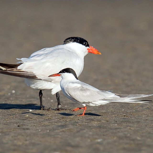 It's Tuesday with the Terns. Did you know that Caspian Terns are the largest of the terns? As you can see in this photo, they're quite large compared to the Common Tern. Caspian Terns also have a long adolescent stage that can last in to mid-winter, sometimes they even follow their parents around until the next summer! #nature #eastsideaudubon #audubonsociety PC: Mick Thompson (Common Tern and Caspian Tern, Ocean Shores)