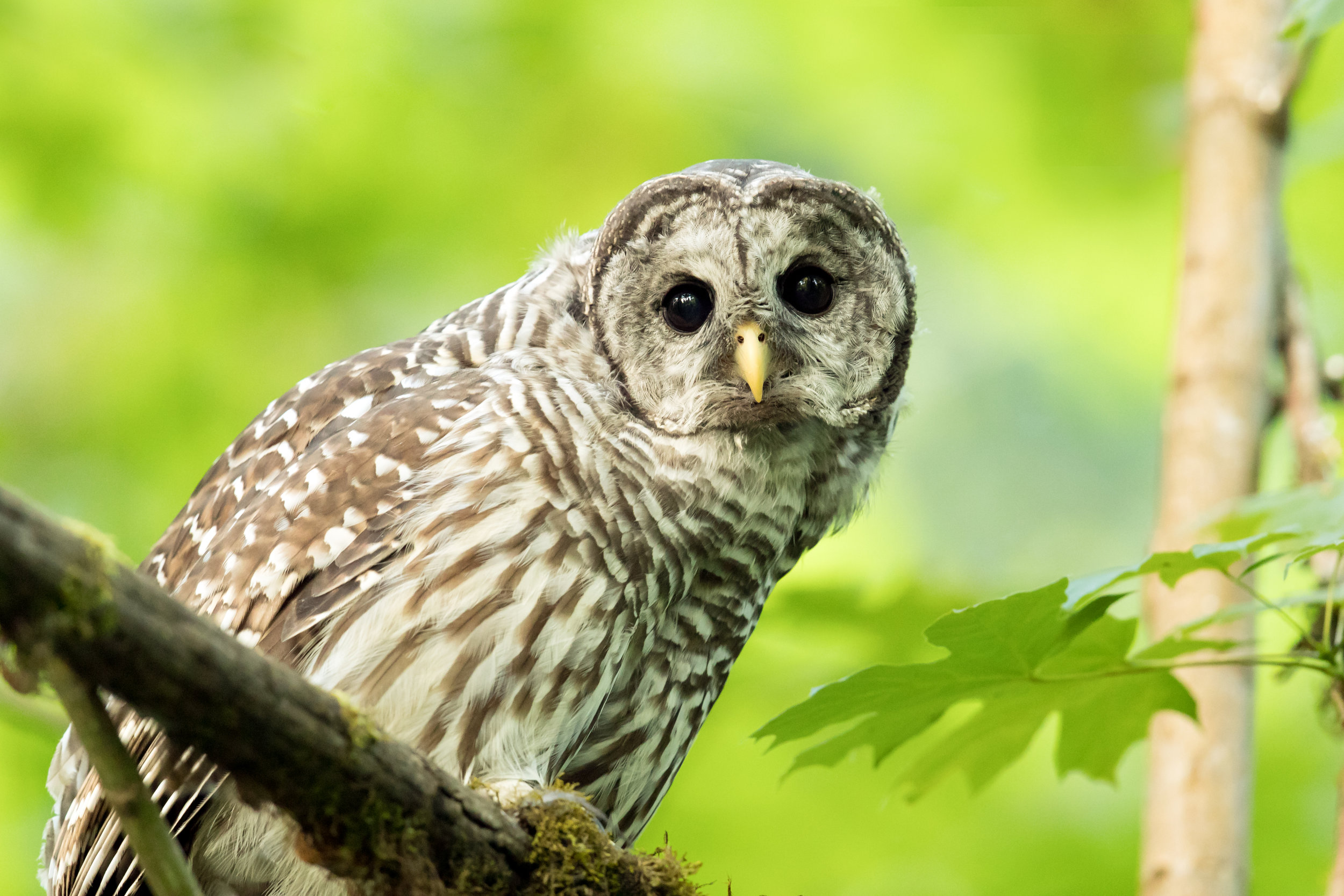 PC: Mick Thompson (Barred Owl)