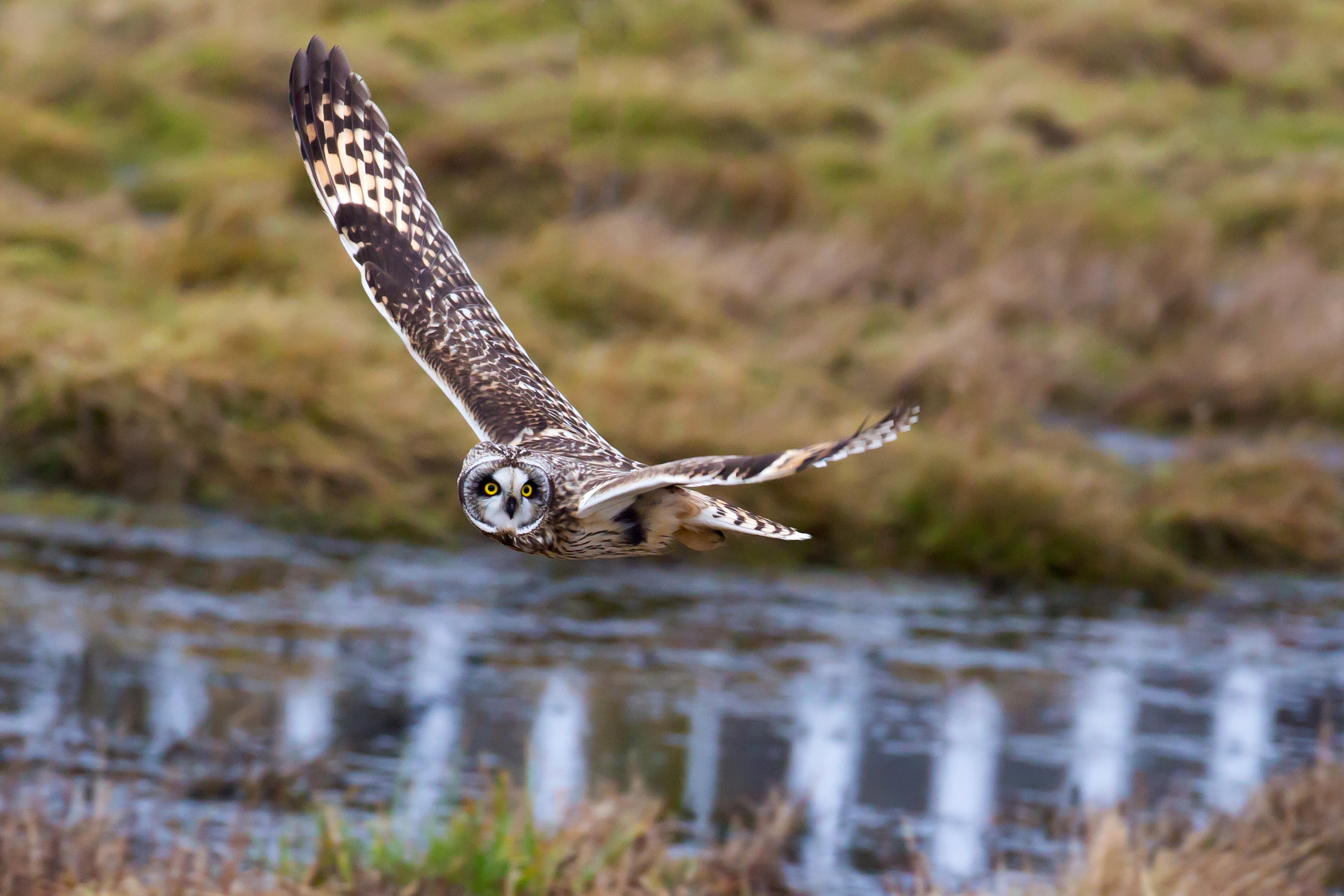 PC: Mick Thompson (Short-eared Owl)
