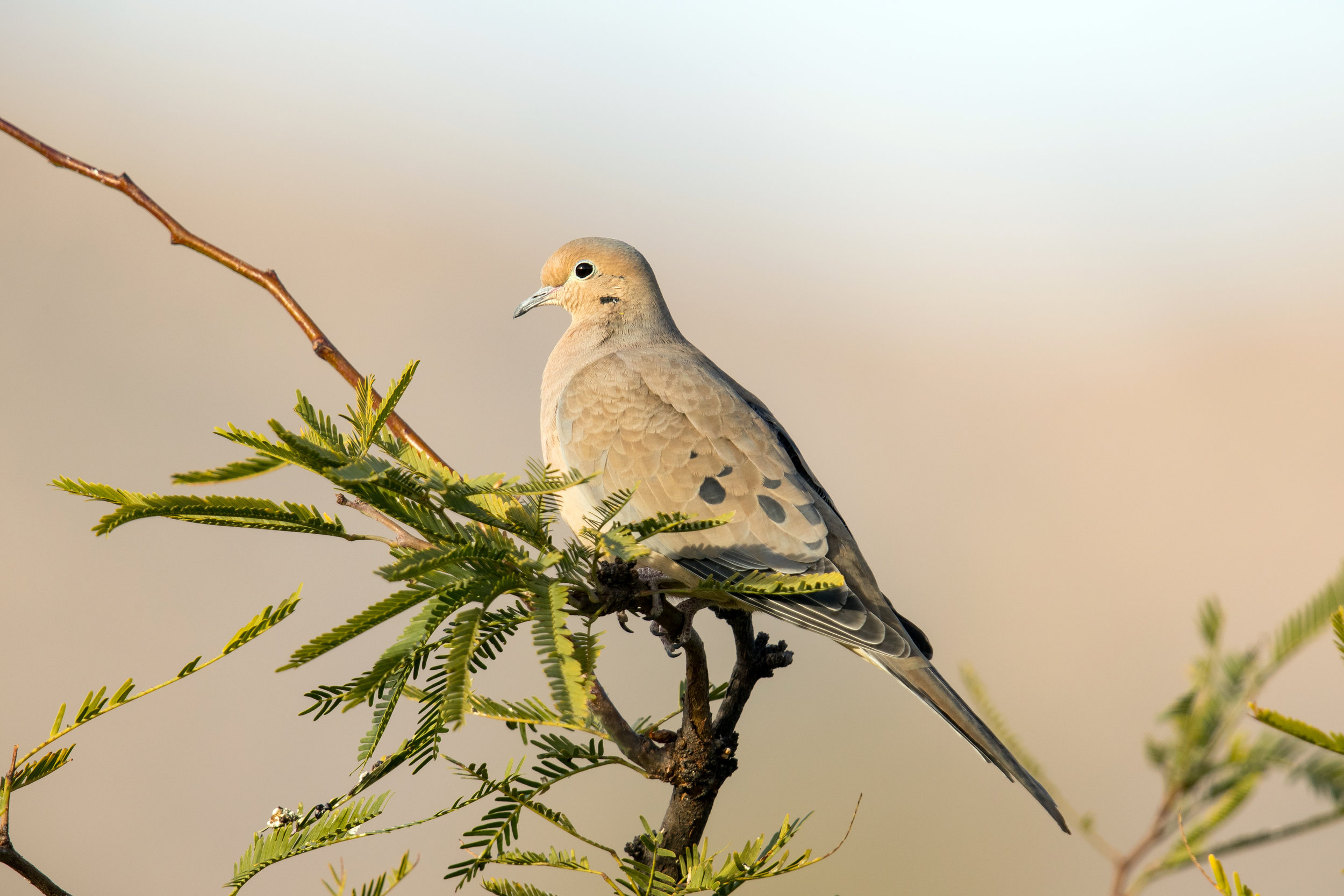 PC: Mick Thompson (Mourning Dove)