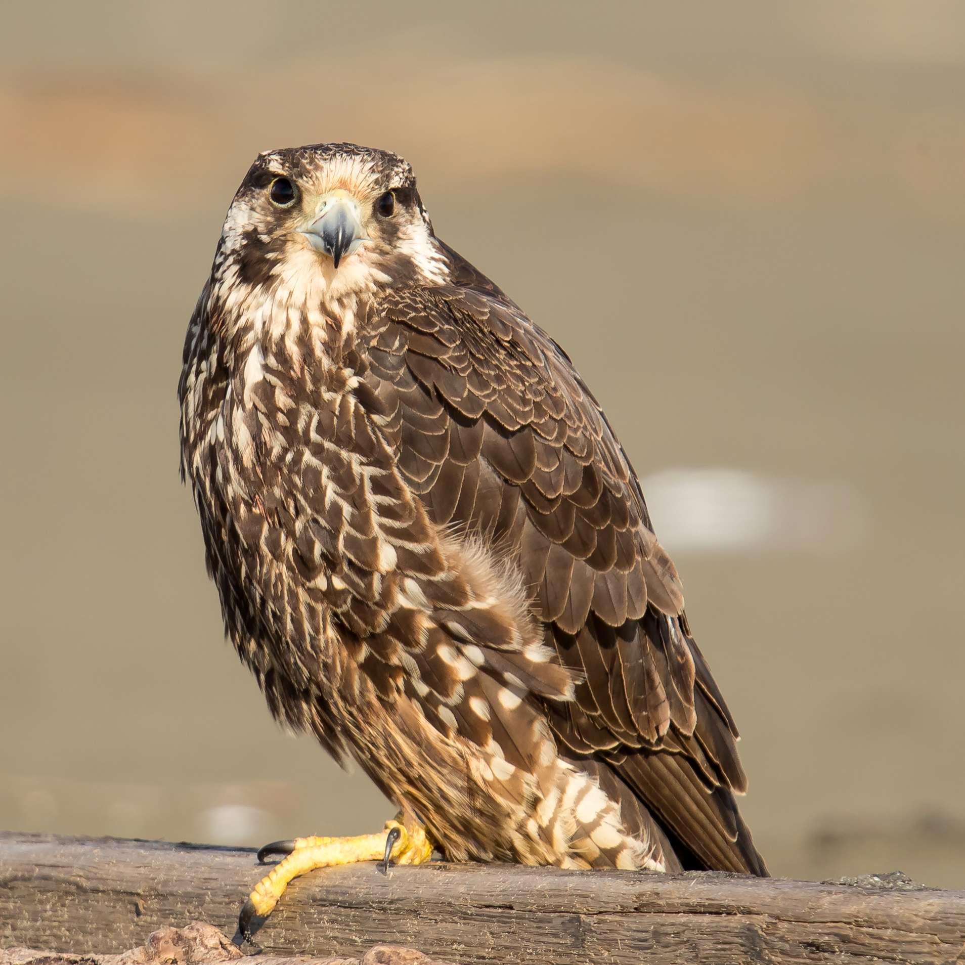 PC: Mick Thompson (Peregrine Falcon)