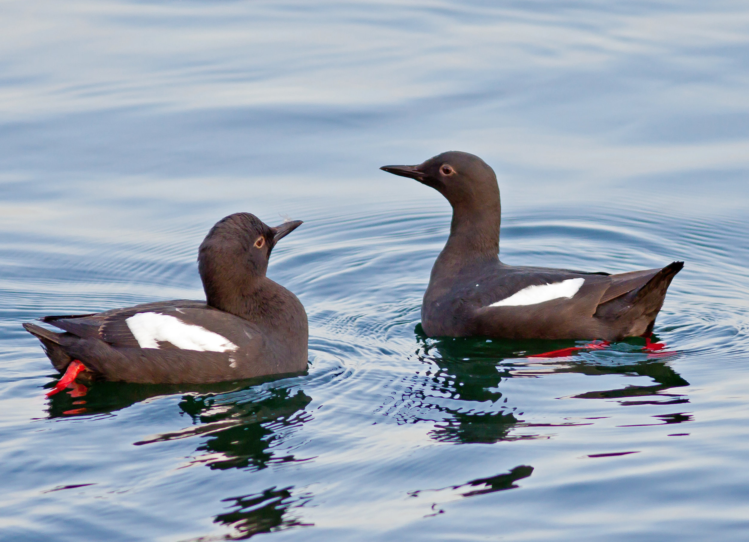 PC: Mick Thompson (Pigeon Guillemot)