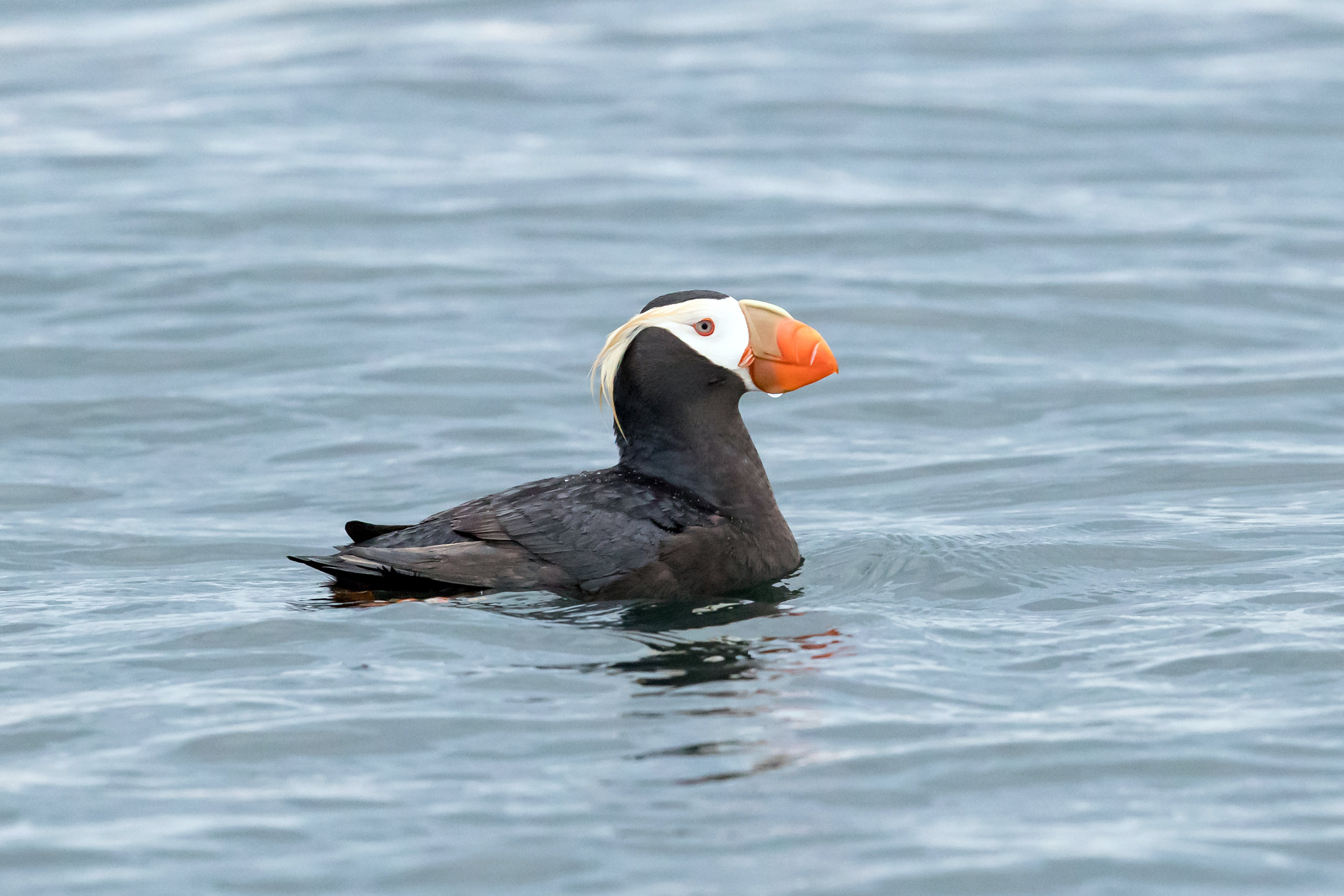 PC: Mick Thompson (Tufted Puffin)
