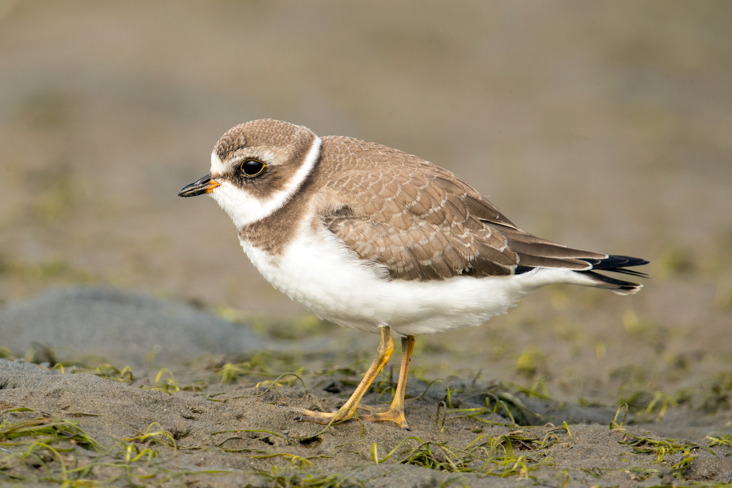 PC: Mick Thompson (Semipalmated Plover)