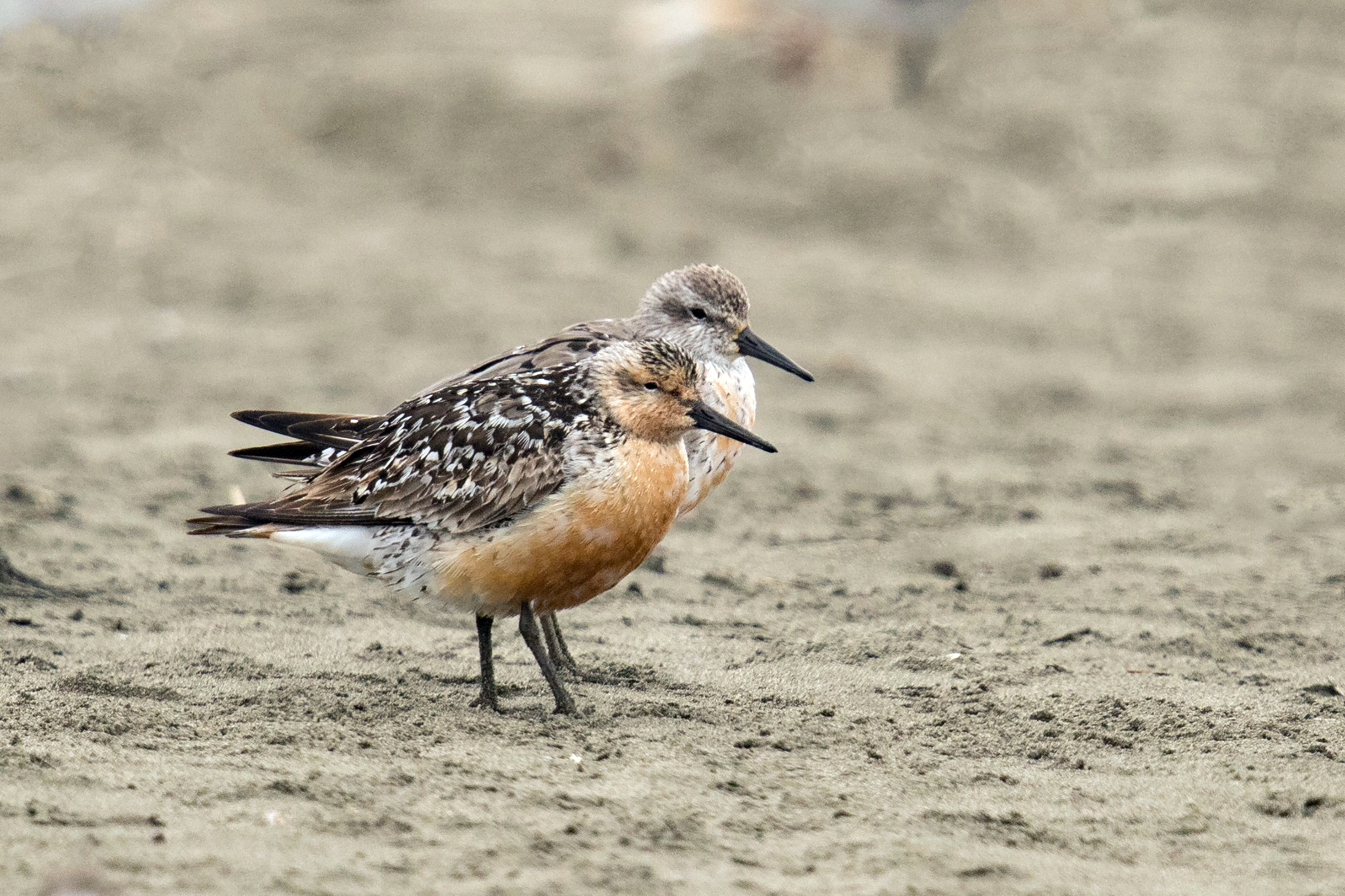 PC: Mick Thompson (Red Knot)