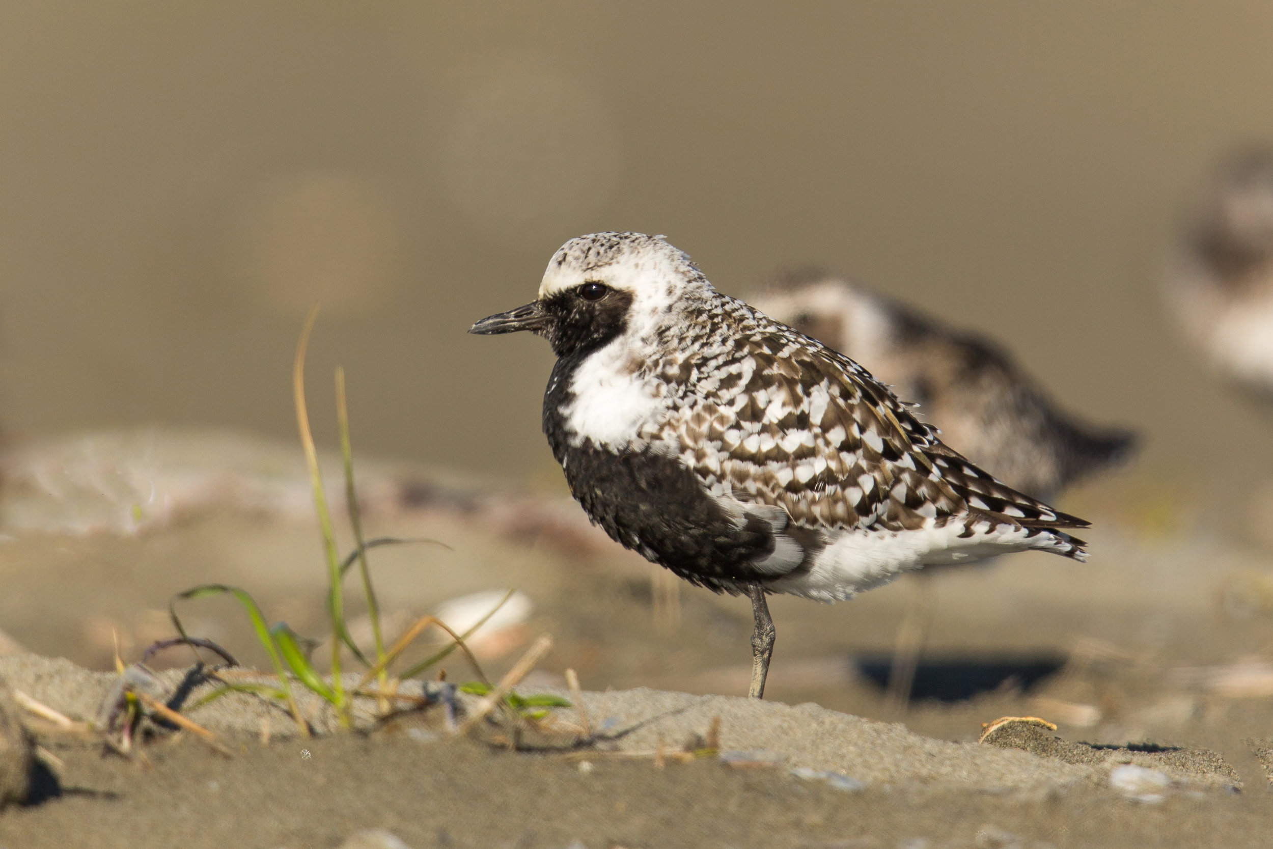 PC: Mick Thompson (Black-bellied Plover)