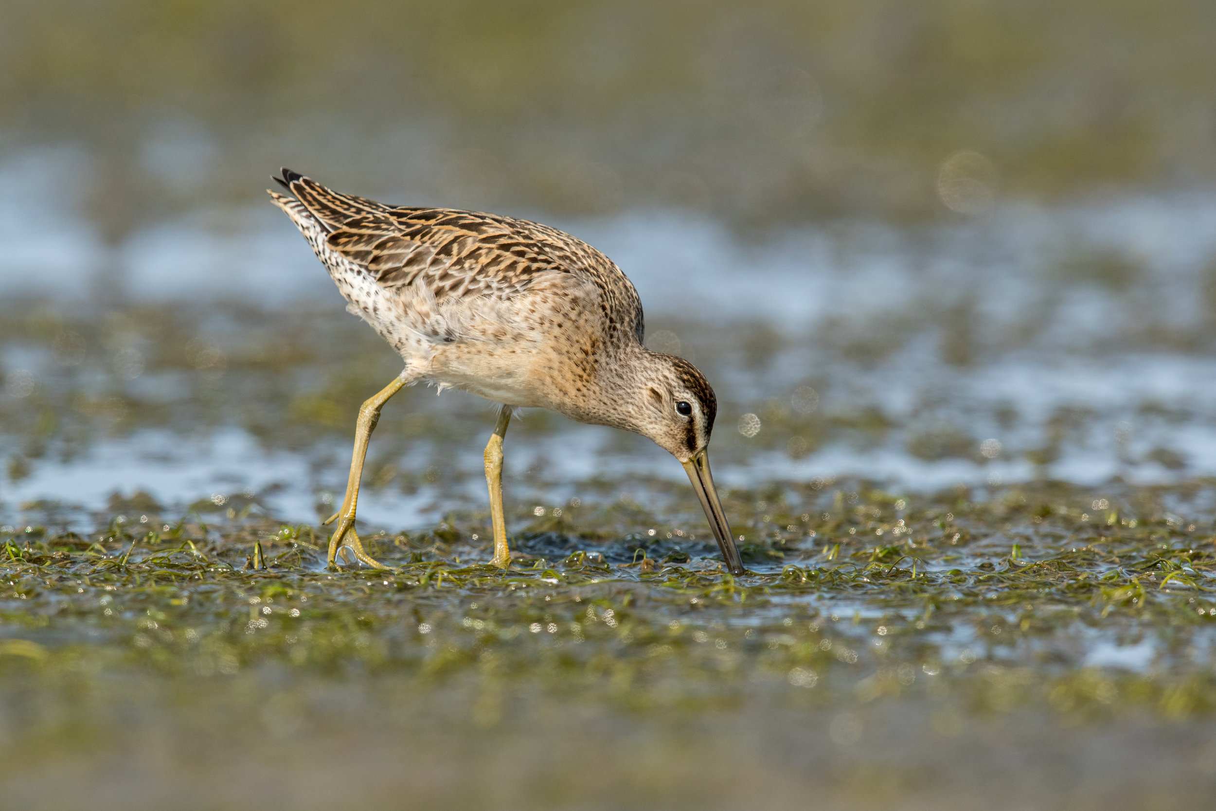 PC; Mick Thompson (Short-billed Dowitcher)