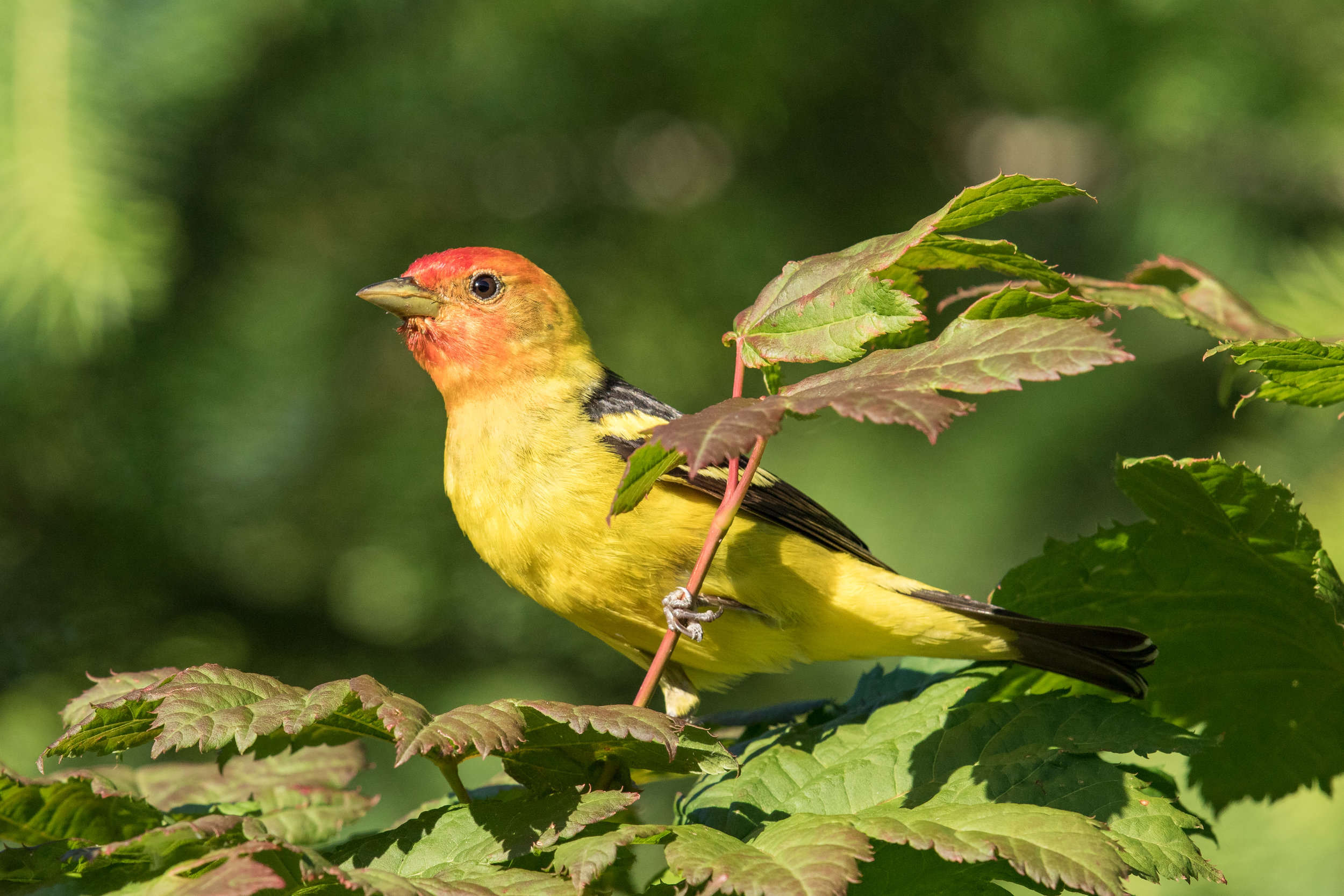 PC: Mick Thompson (Western Tanager)