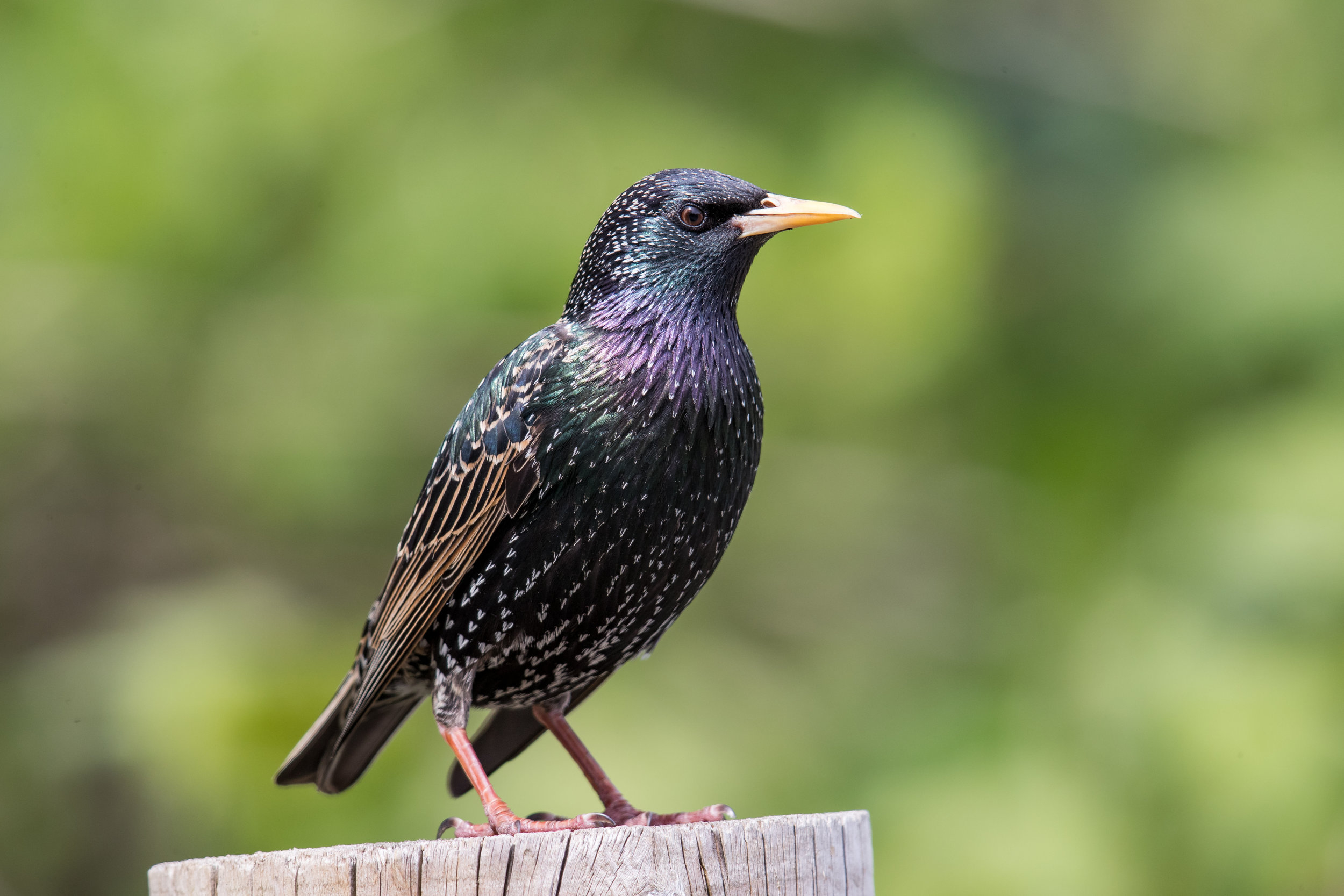 PC: Mick Thompson (European Starling)