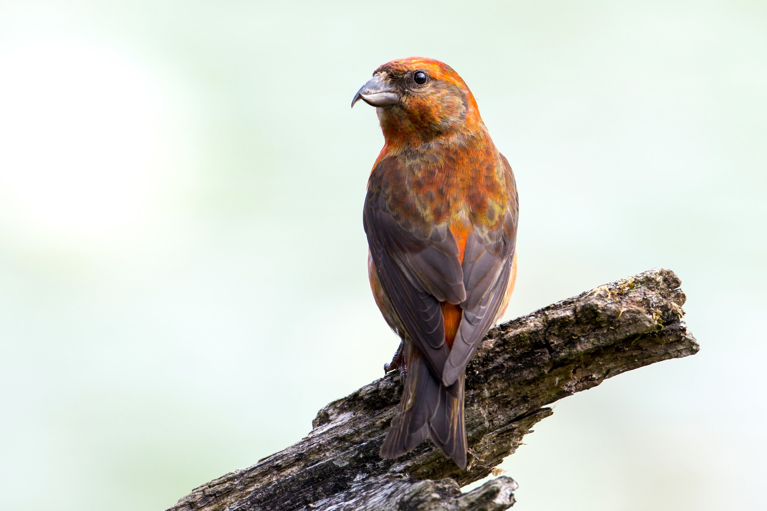 PC: Mick Thompson (Red Crossbill)