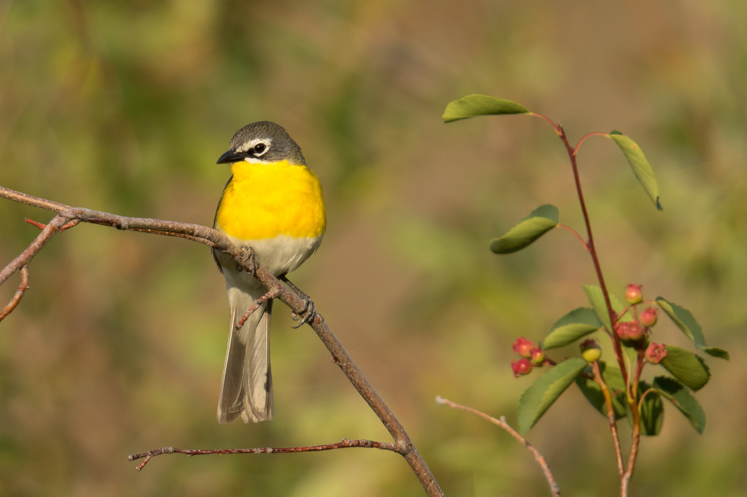 PC: Mick Thompson (Yellow-breasted Chat)