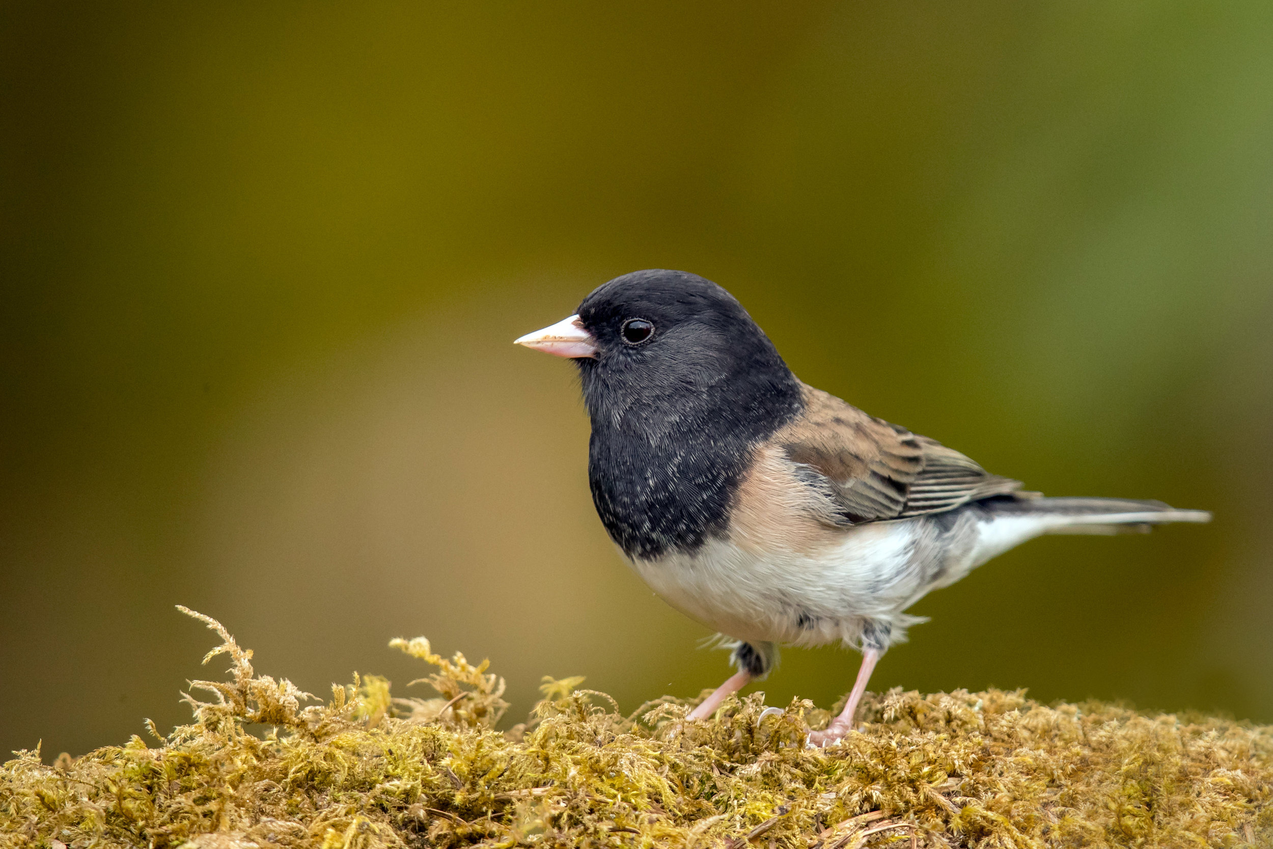 PC: Mick Thompson (Dark-eyed Junco)