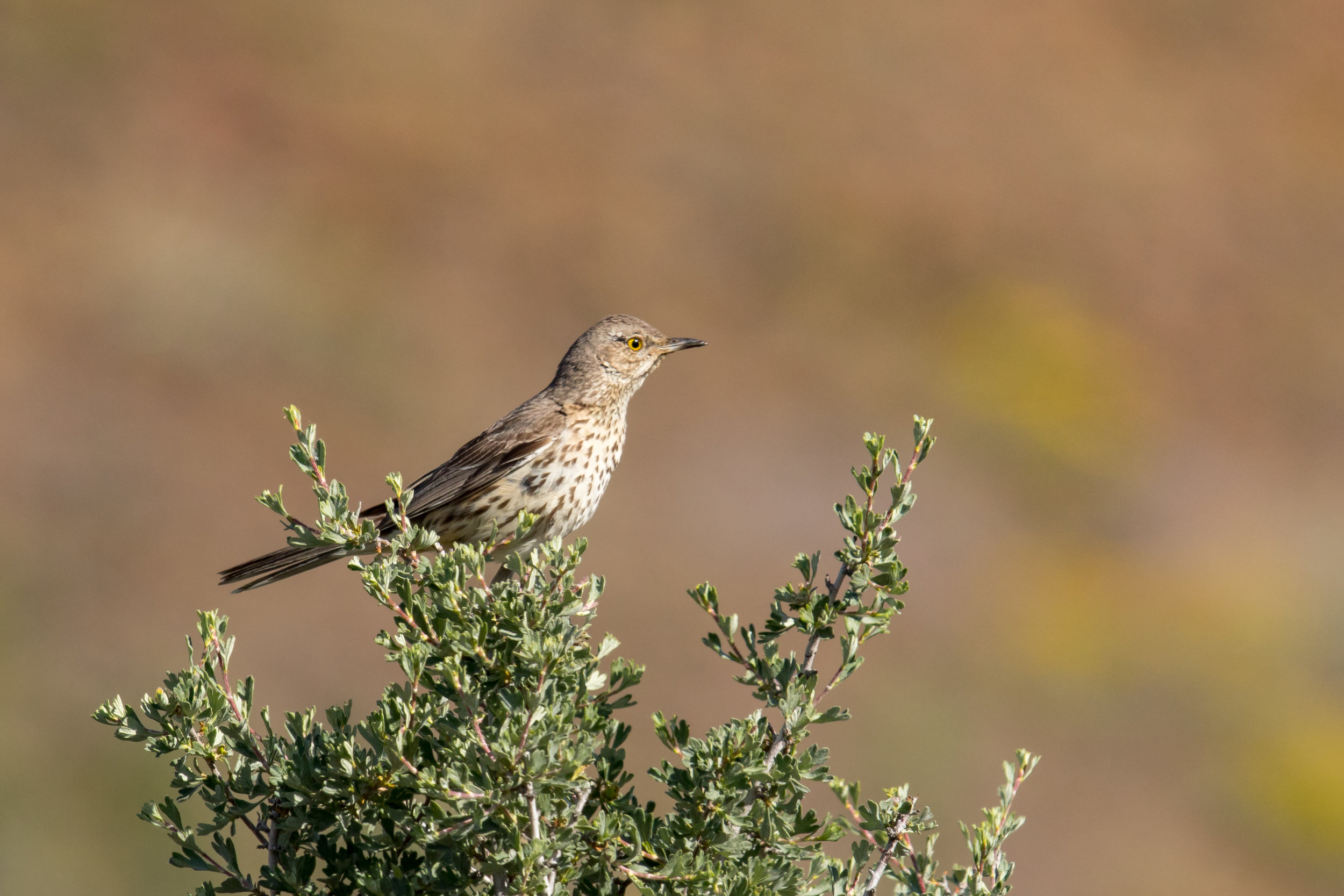PC: Mick Thompson (Sage Thrasher)