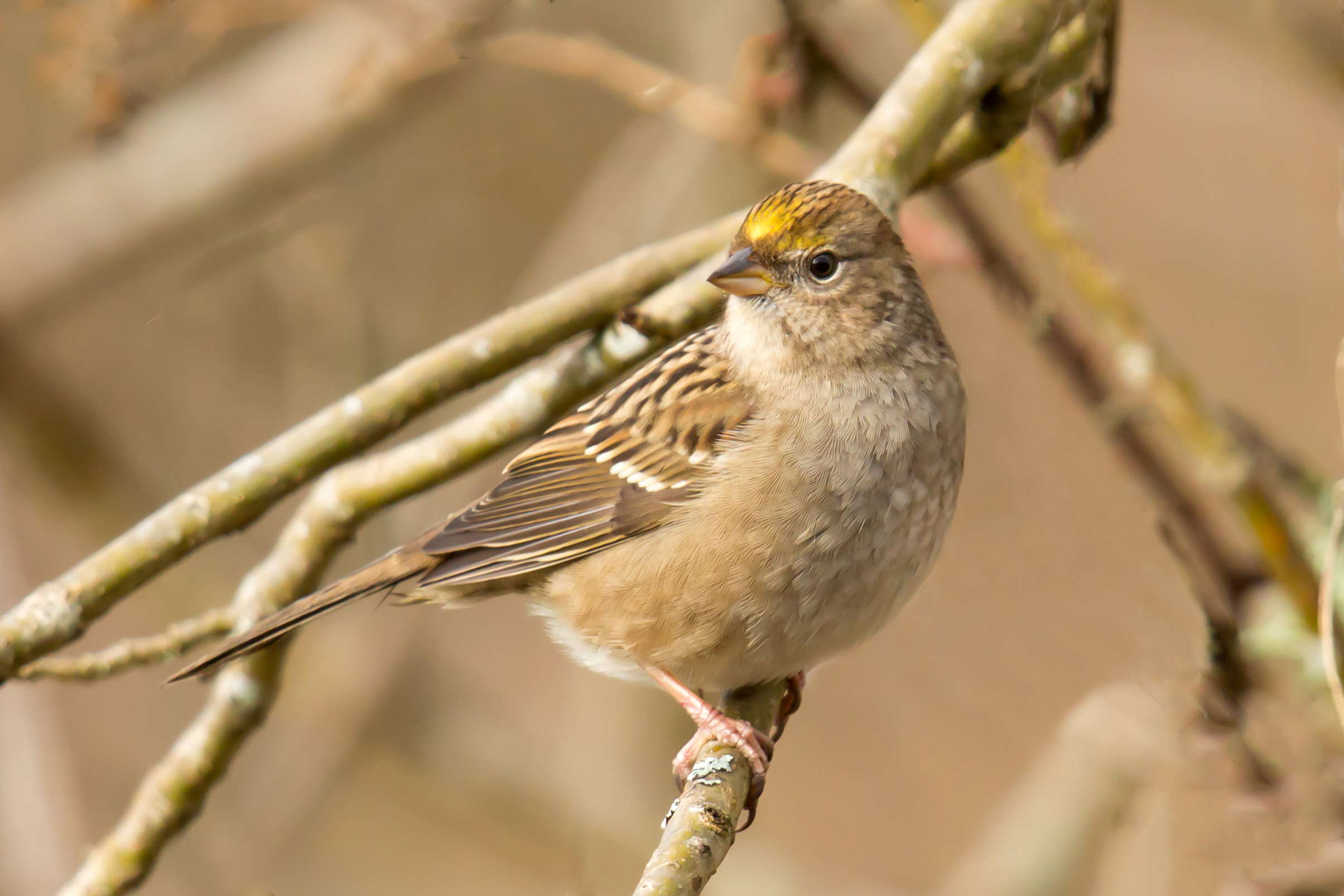 PC: Mick Thompson (Golden-crowned Sparrow)