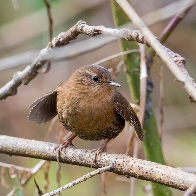 Happy Wren Wednesday! This little guy is a Pacific Wren who are noted for their sharp kep-kep call notes. They mostly eat insects and can be found in forests along the west coast.  PC: Mick Thompson (Pacific Wren, Lake Sammamish State Park)