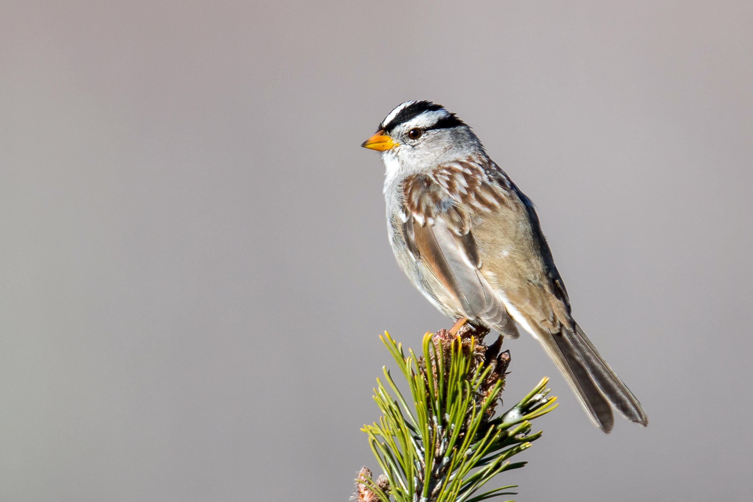 PC: Mick Thompson (White-crowned Sparrow)
