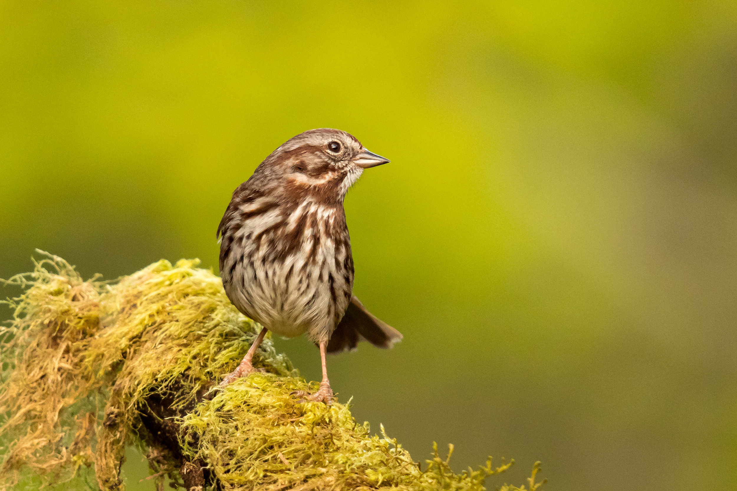PC: Mick Thompson (Song Sparrow)