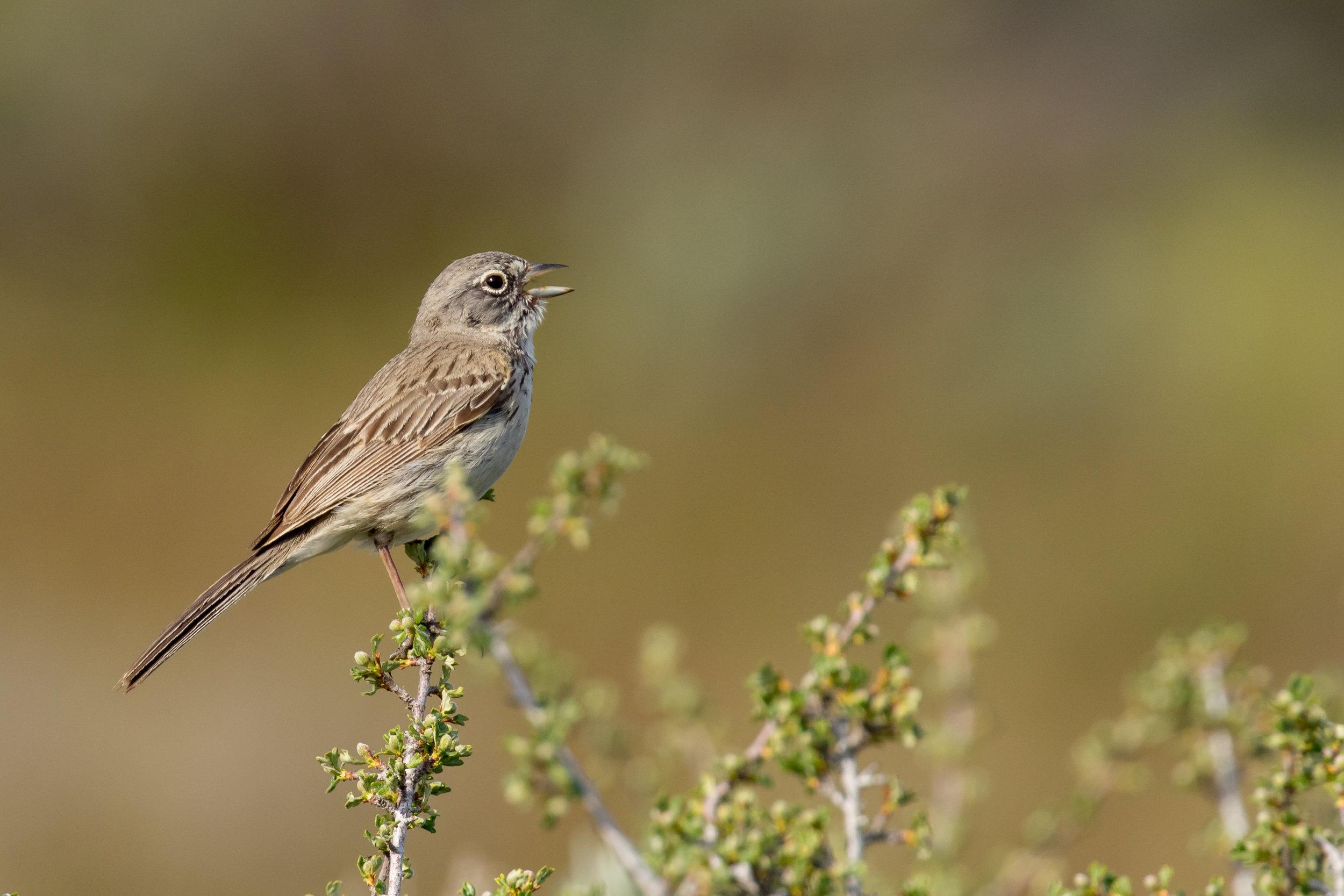 PC: Mick Thompson (Sagebrush Sparrow)