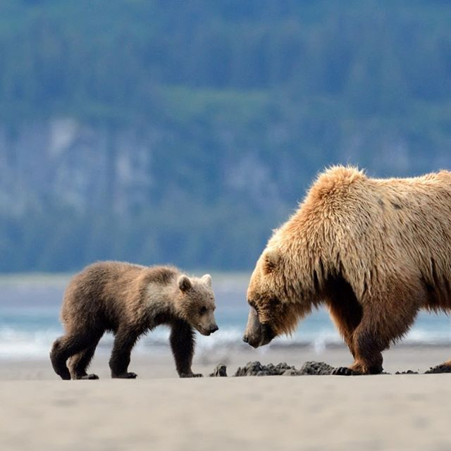 It's that time of year! We're really excited to announce the topic of our Program Night 9/26: Grizzly Bear Recovery in Washington State. Check it out on our calendar: www.eastsideaudubon.org/calendar