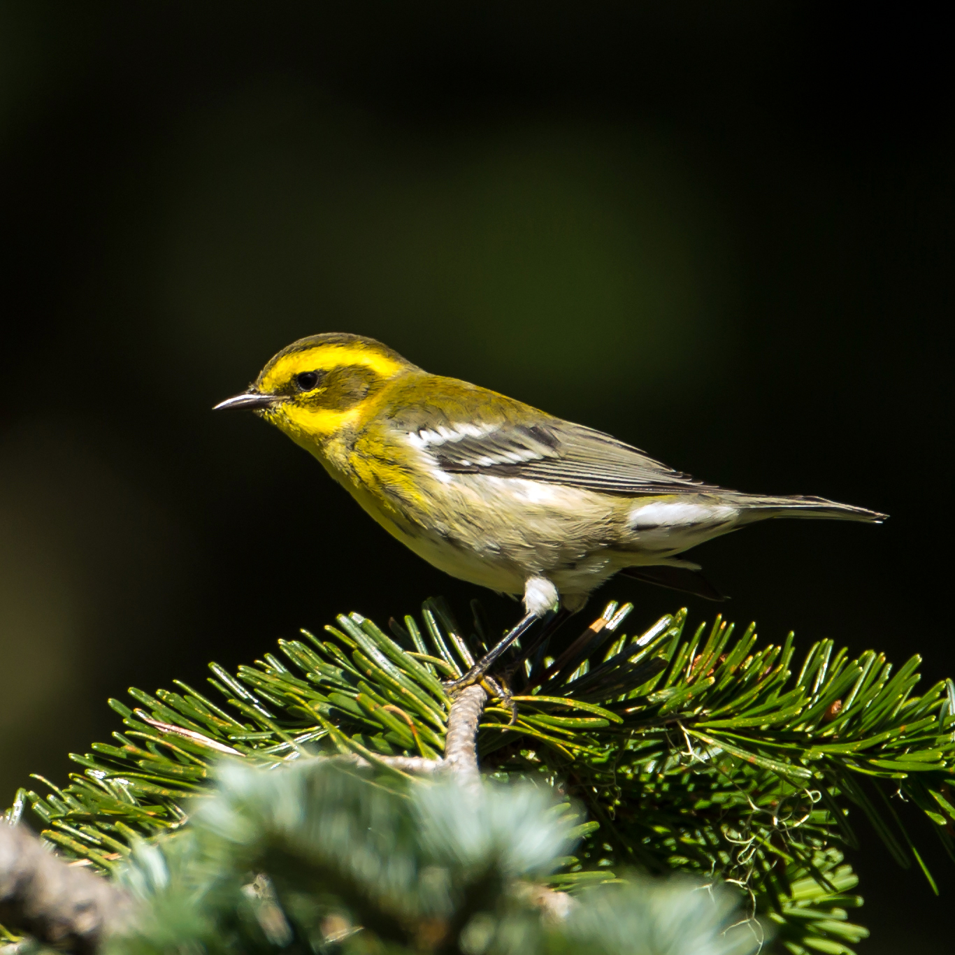 PC: Mick Thompson (Townsend's Warbler)