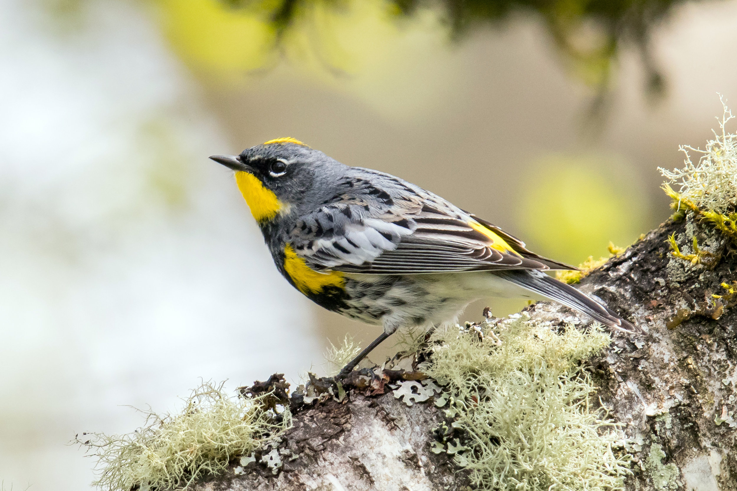 PC: Mick Thompson (Yellow-rumped Warbler)