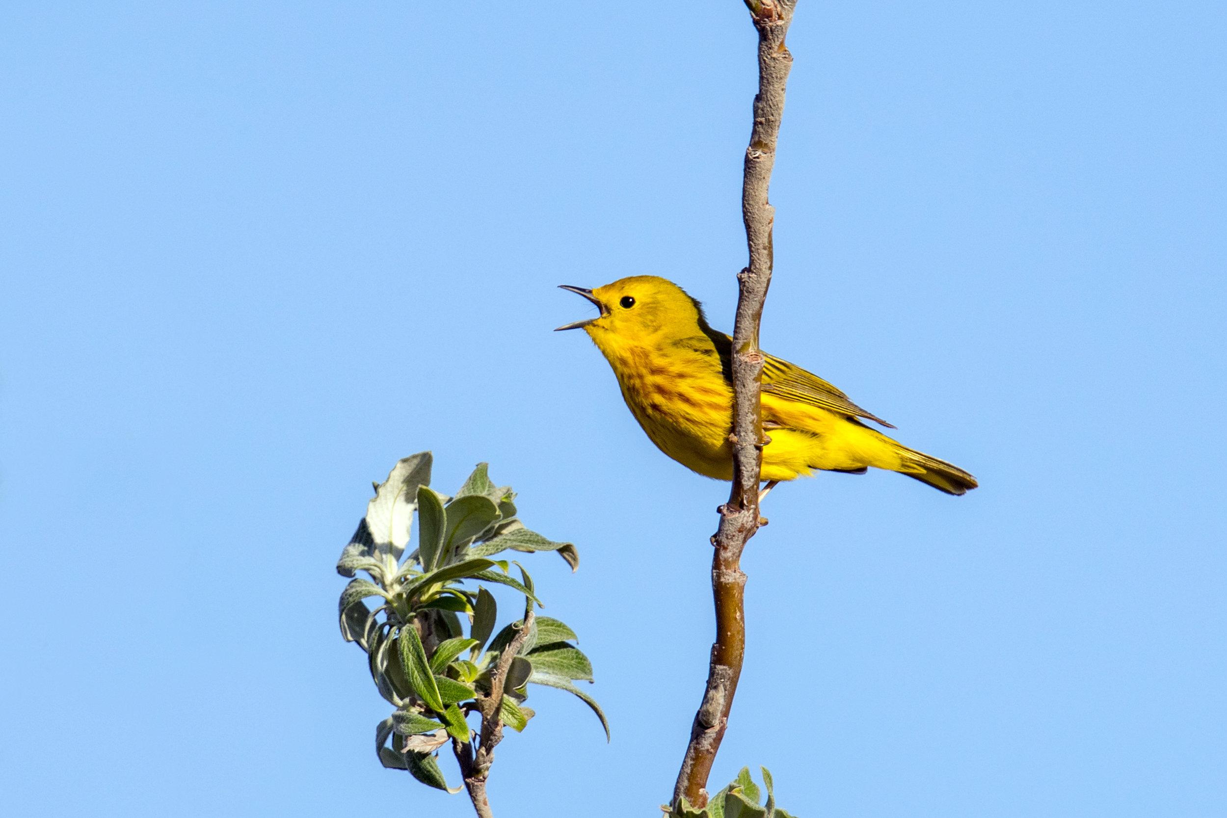 PC: Mick Thompson (Yellow Warbler)