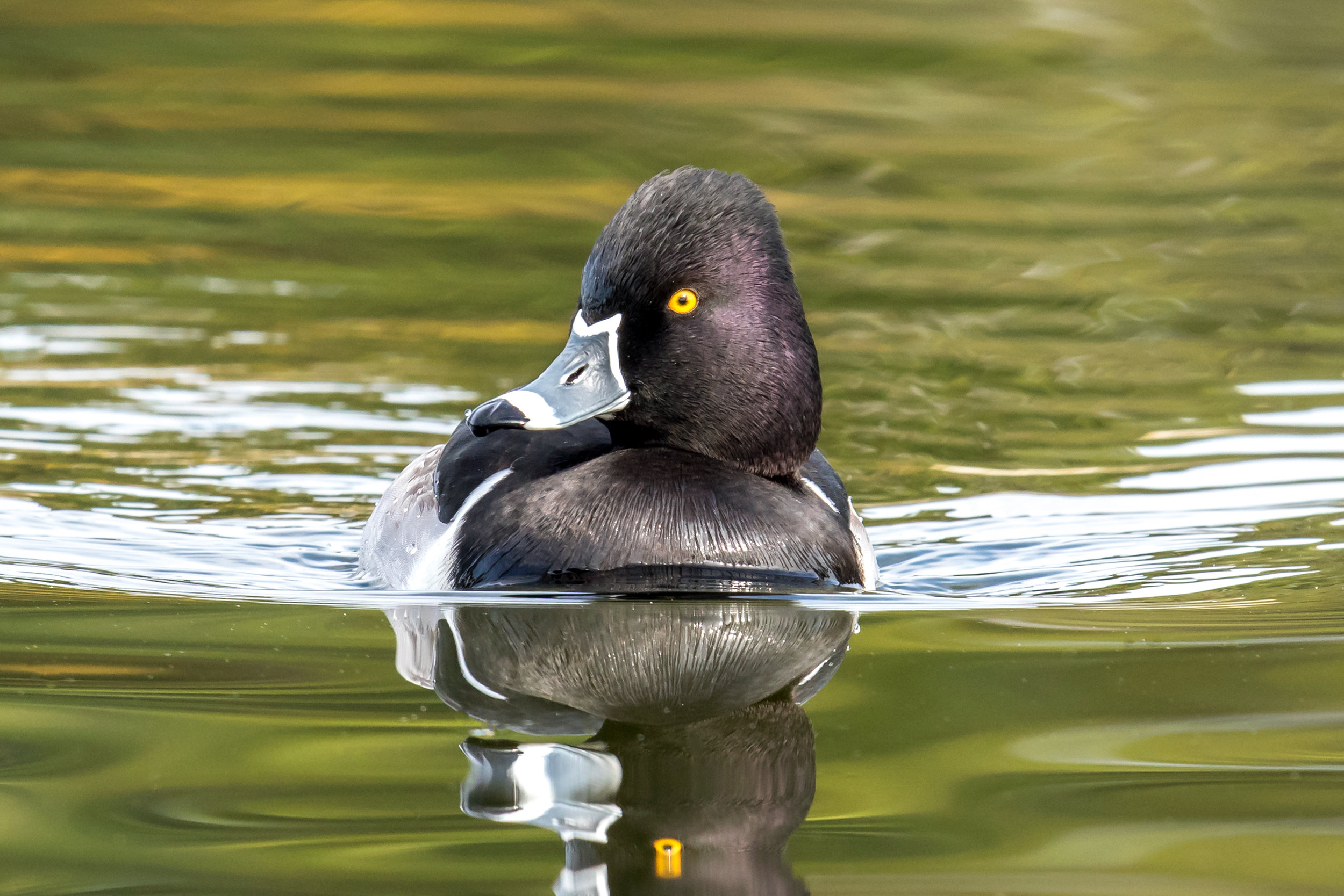PC: Mick Thompson (Ring-necked Duck)