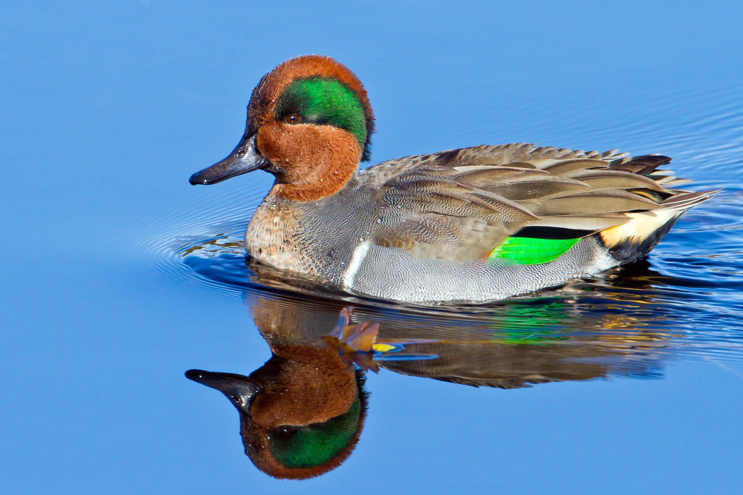 PC: Mick Thompson (Green-winged Teal)